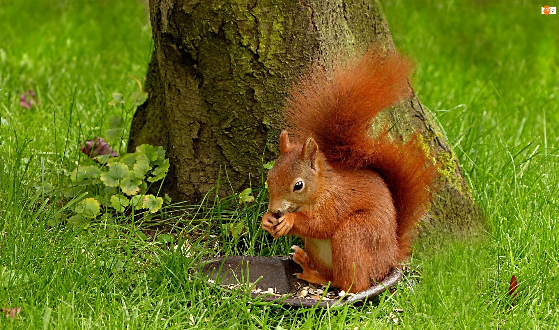 Posiłek, Wiewiórka, Drzewo, Trawa