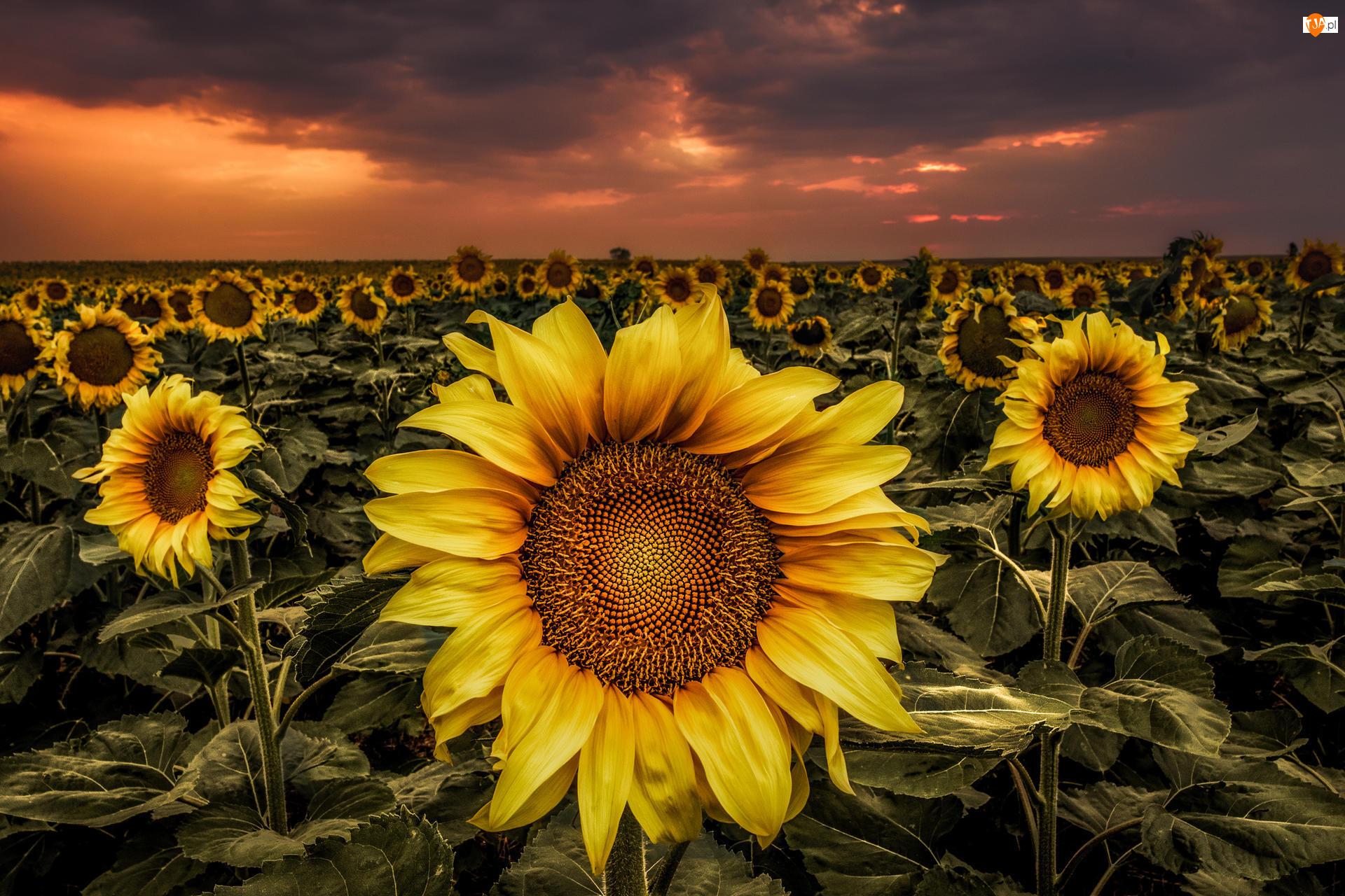 Słoneczniki, Zachód słońca, Kwiaty, Pole, Chmury