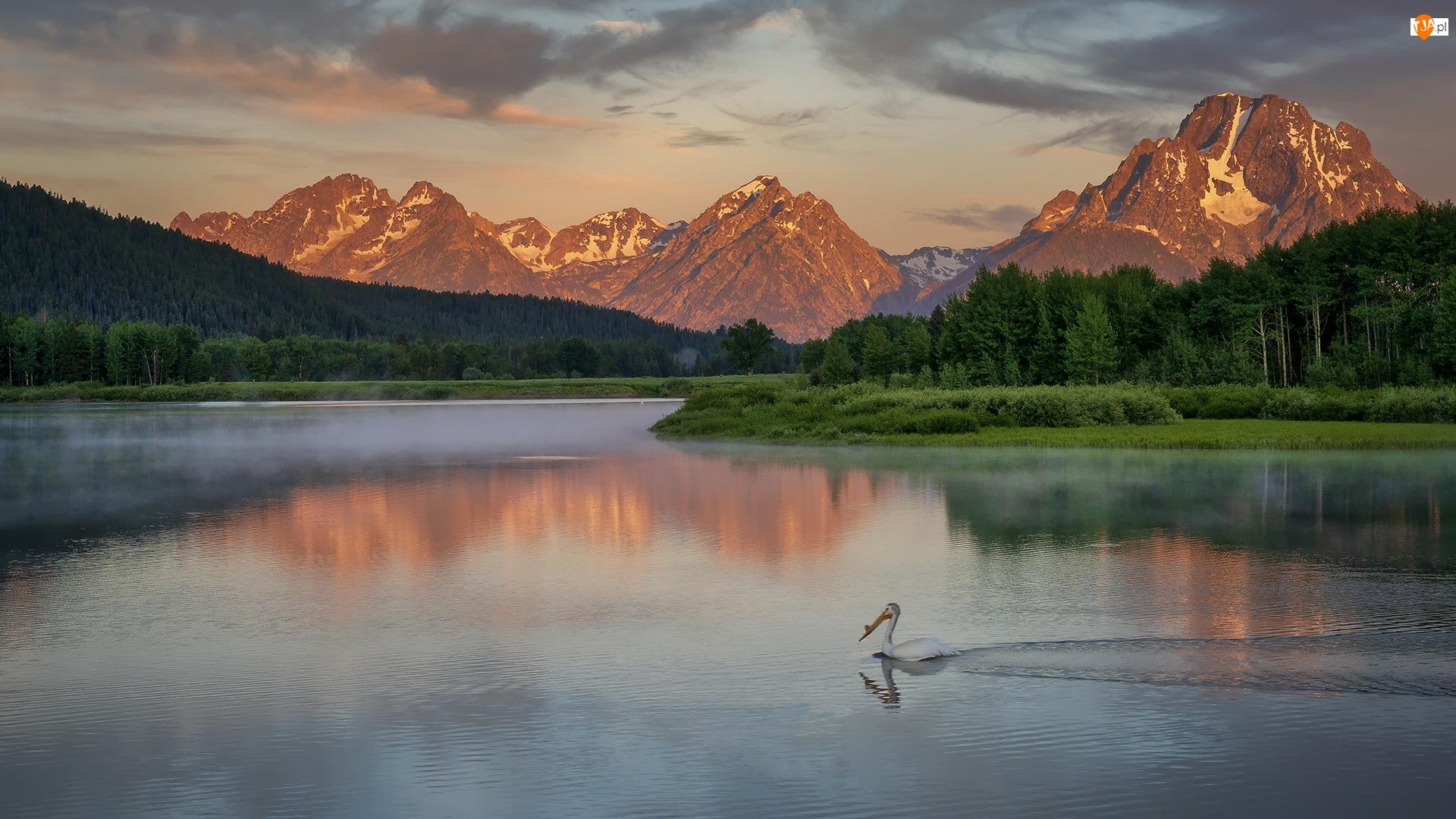 Pelikan, Teton Range, Lasy, Drzewa, Rzeka, Stan Wyoming, Góry, Park Narodowy Grand Teton, Zielone, Snake River, Stany Zjednoczone
