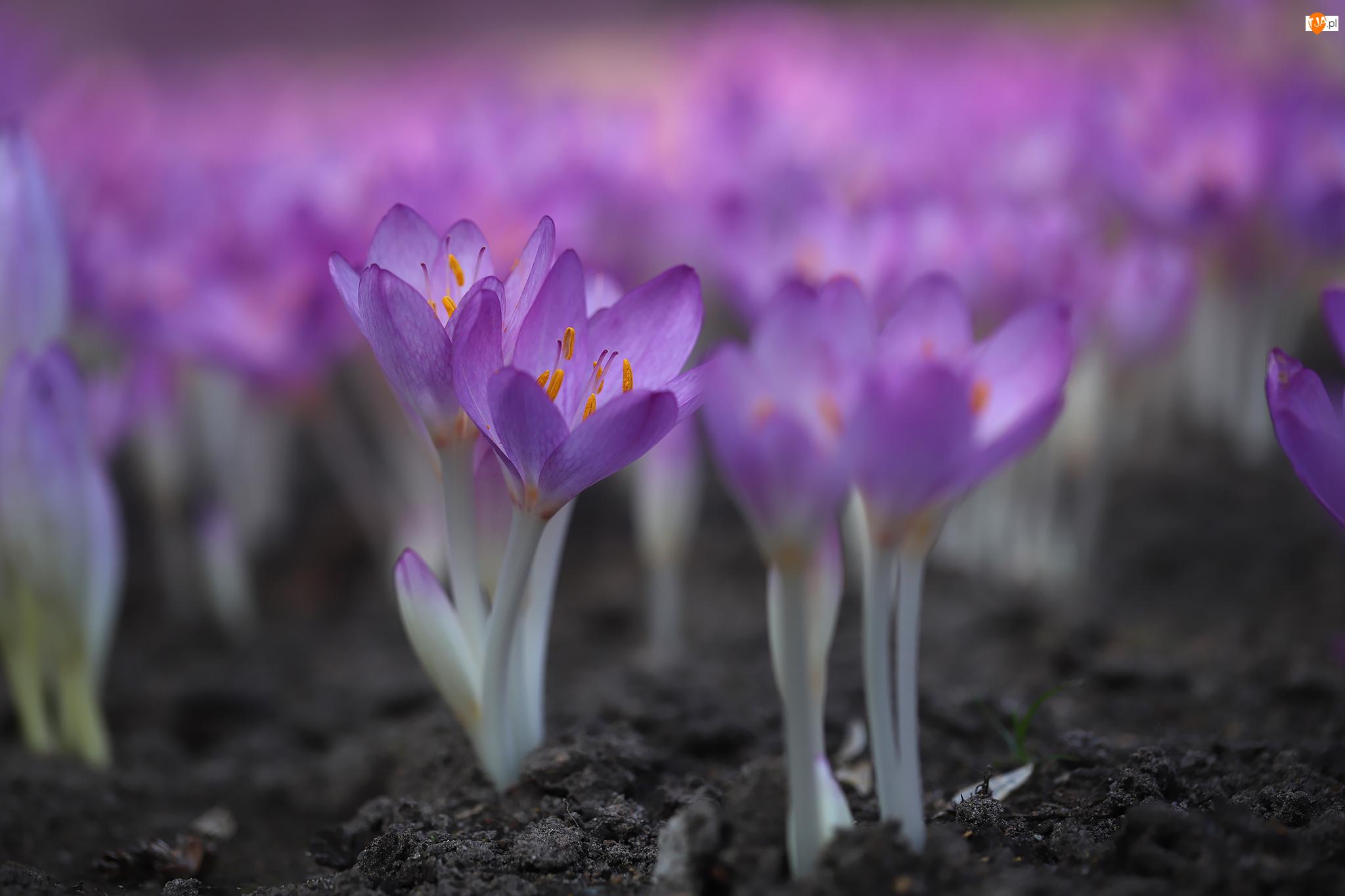 Kwiaty, Zimowity, Rozkwitające, Fioletowe