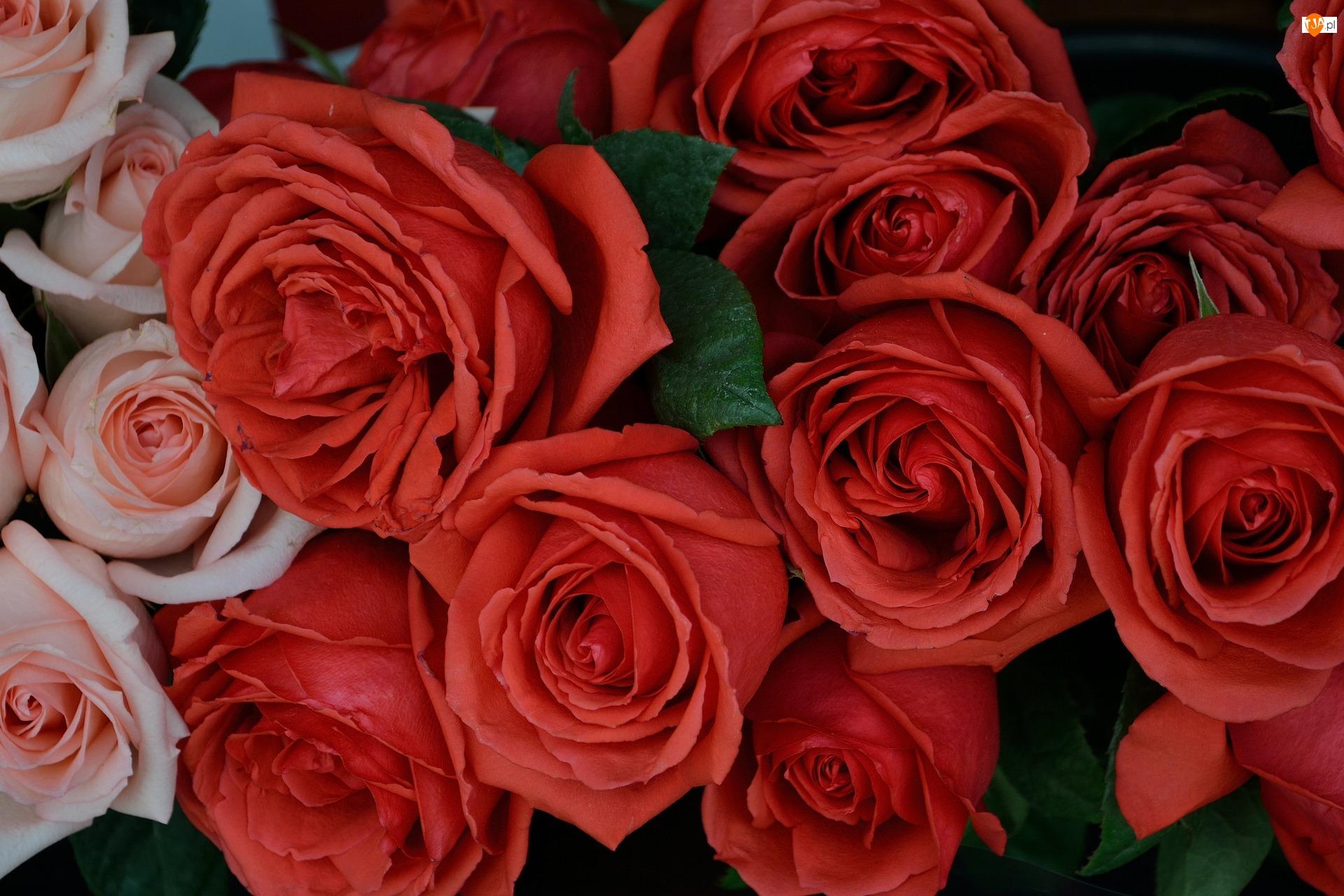 Róże, Czerwone, Różowe, Kwiaty