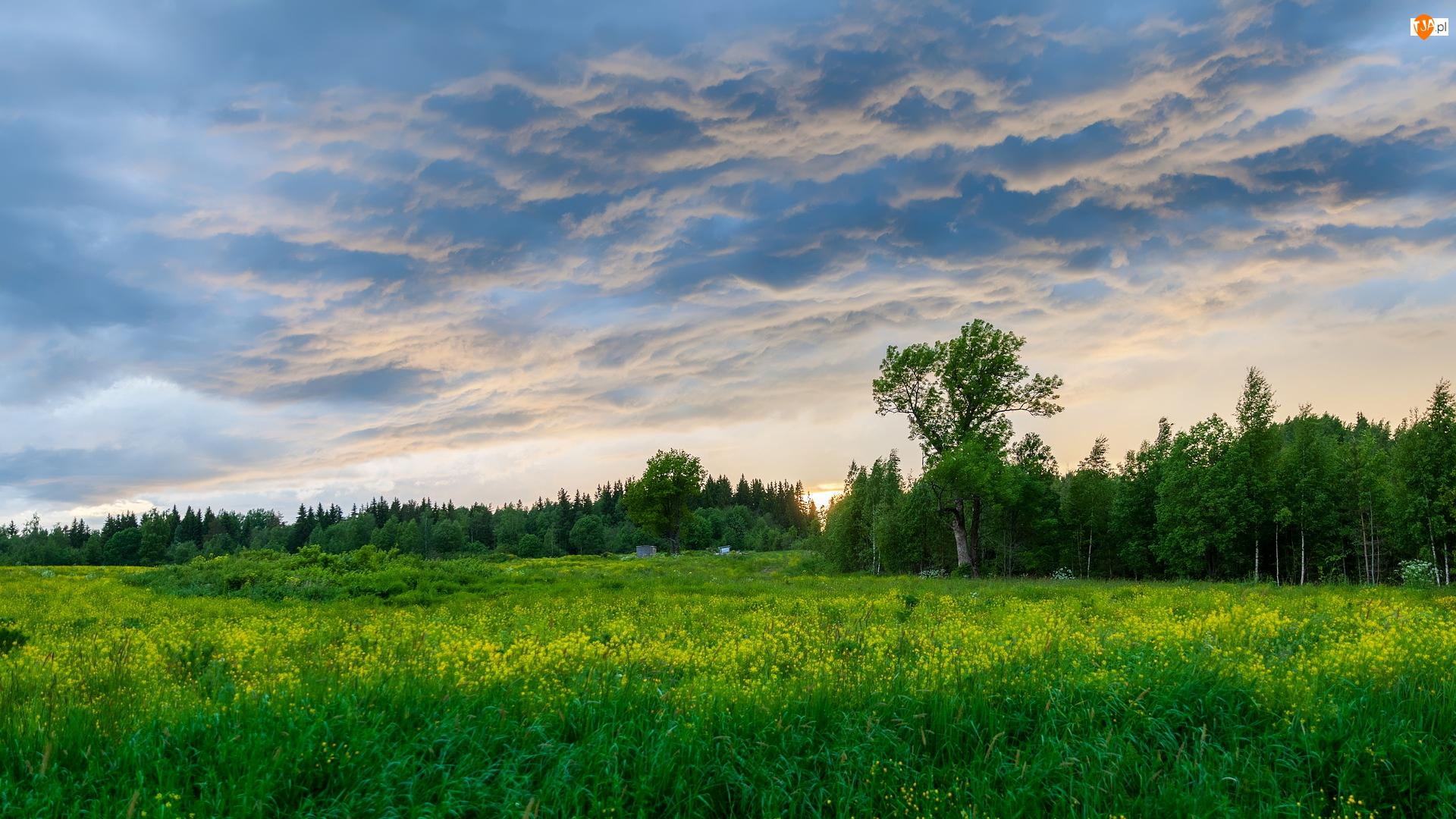 Las, Łąka, Zielona, Chmury, Drzewa, Trawa
