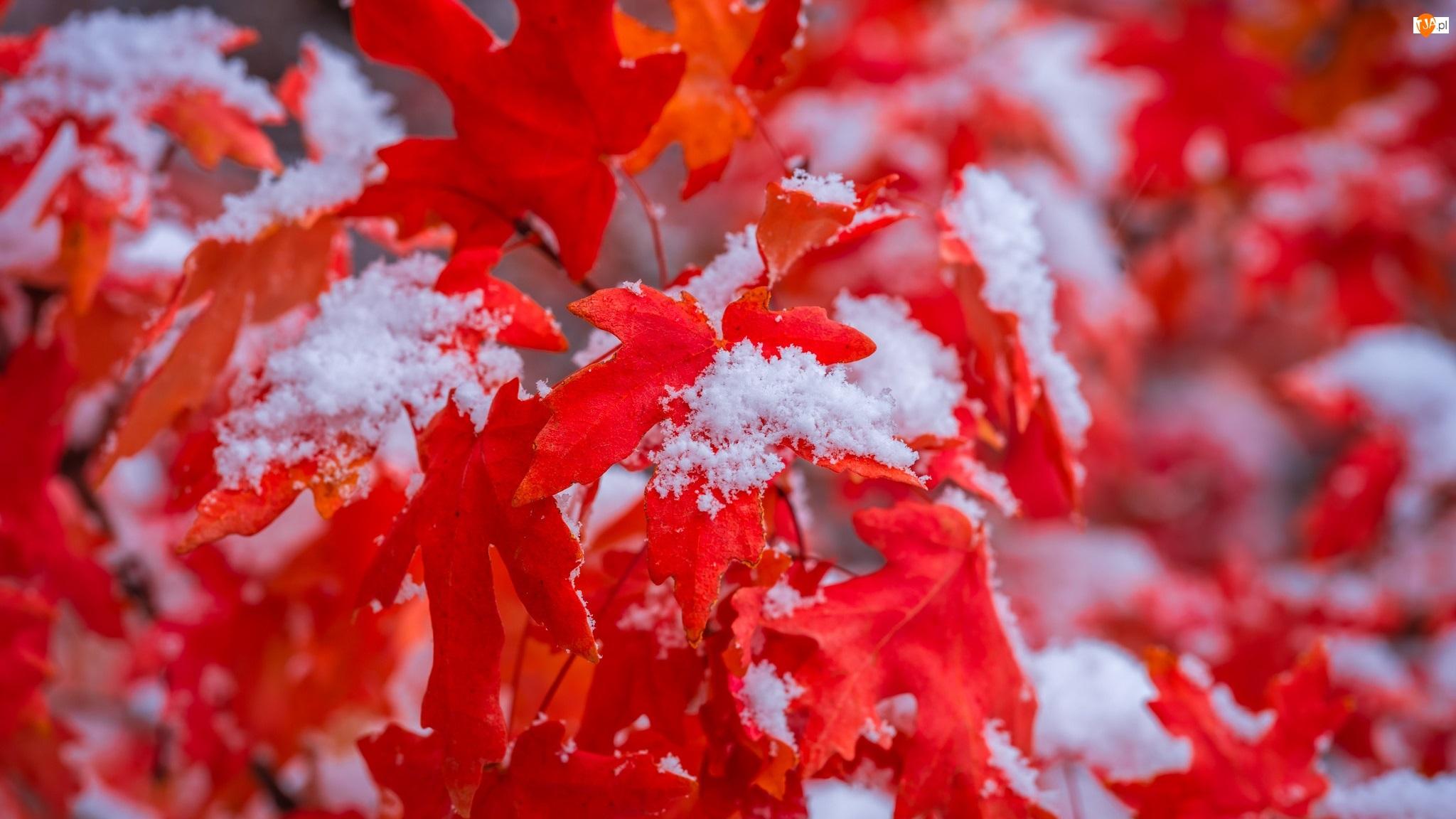 Śnieg, Czerwone, Liście, Klon