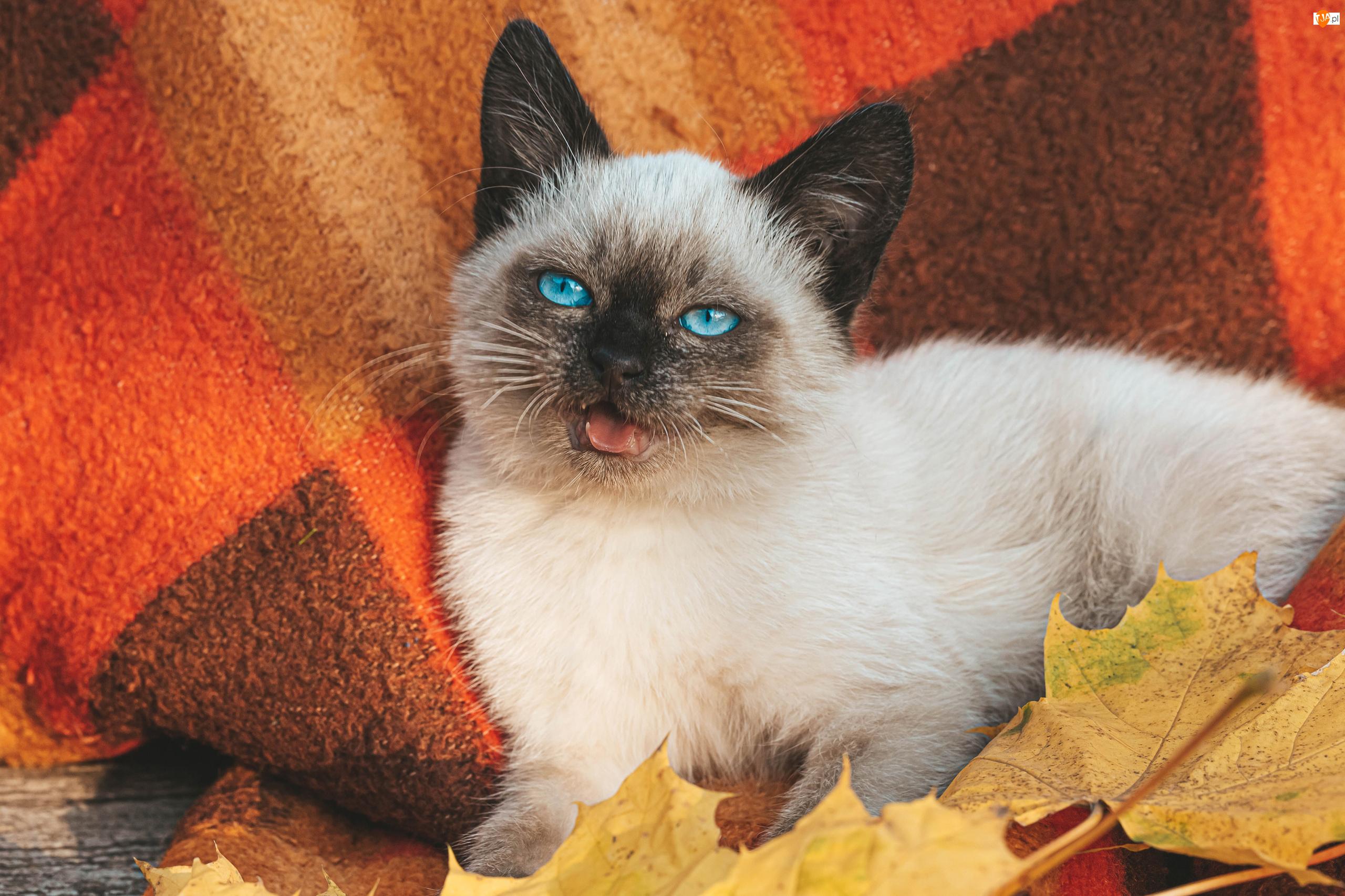 Liście, Kot syjamski, Koc