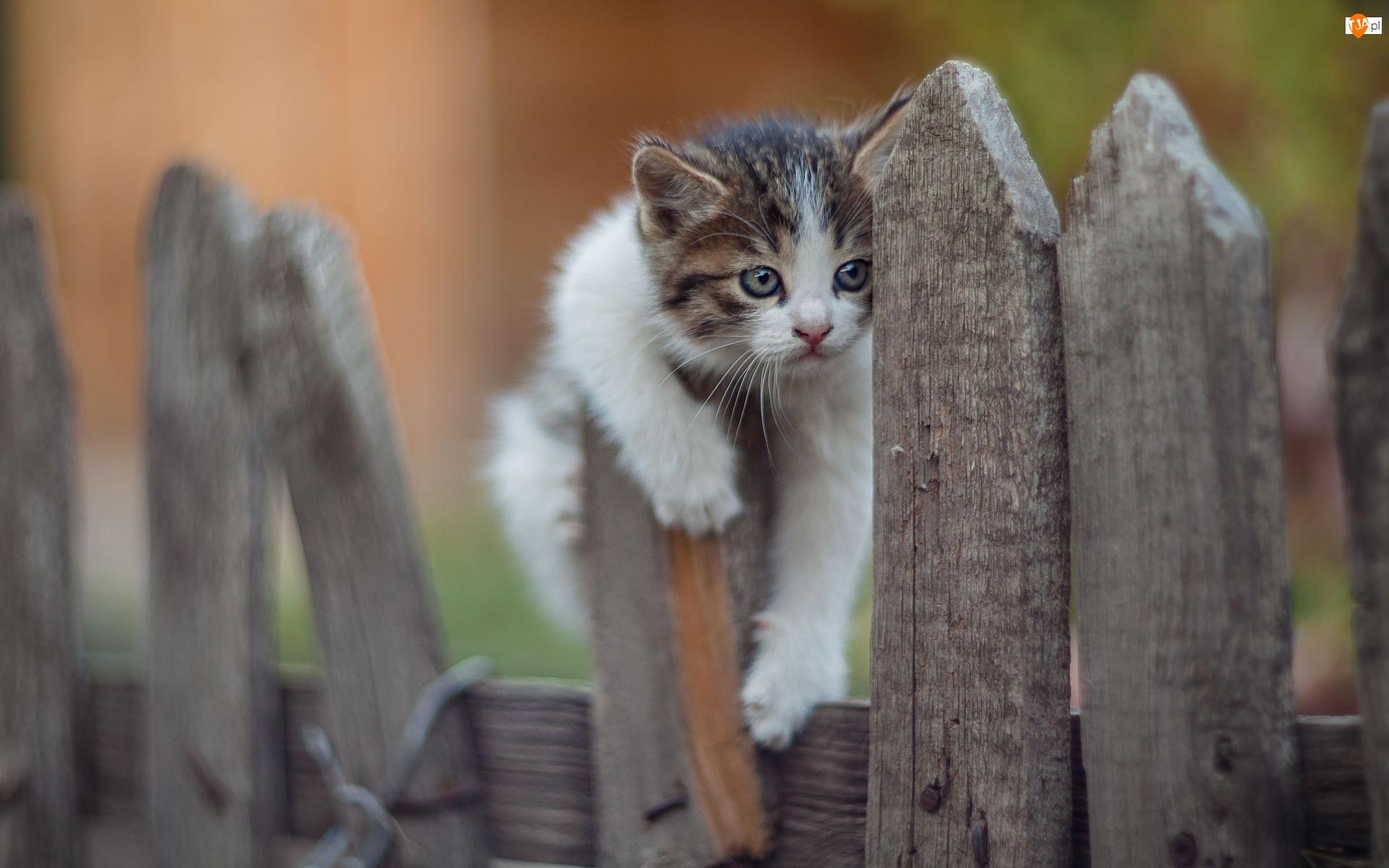 Płot, Kot, Młody, Kotek