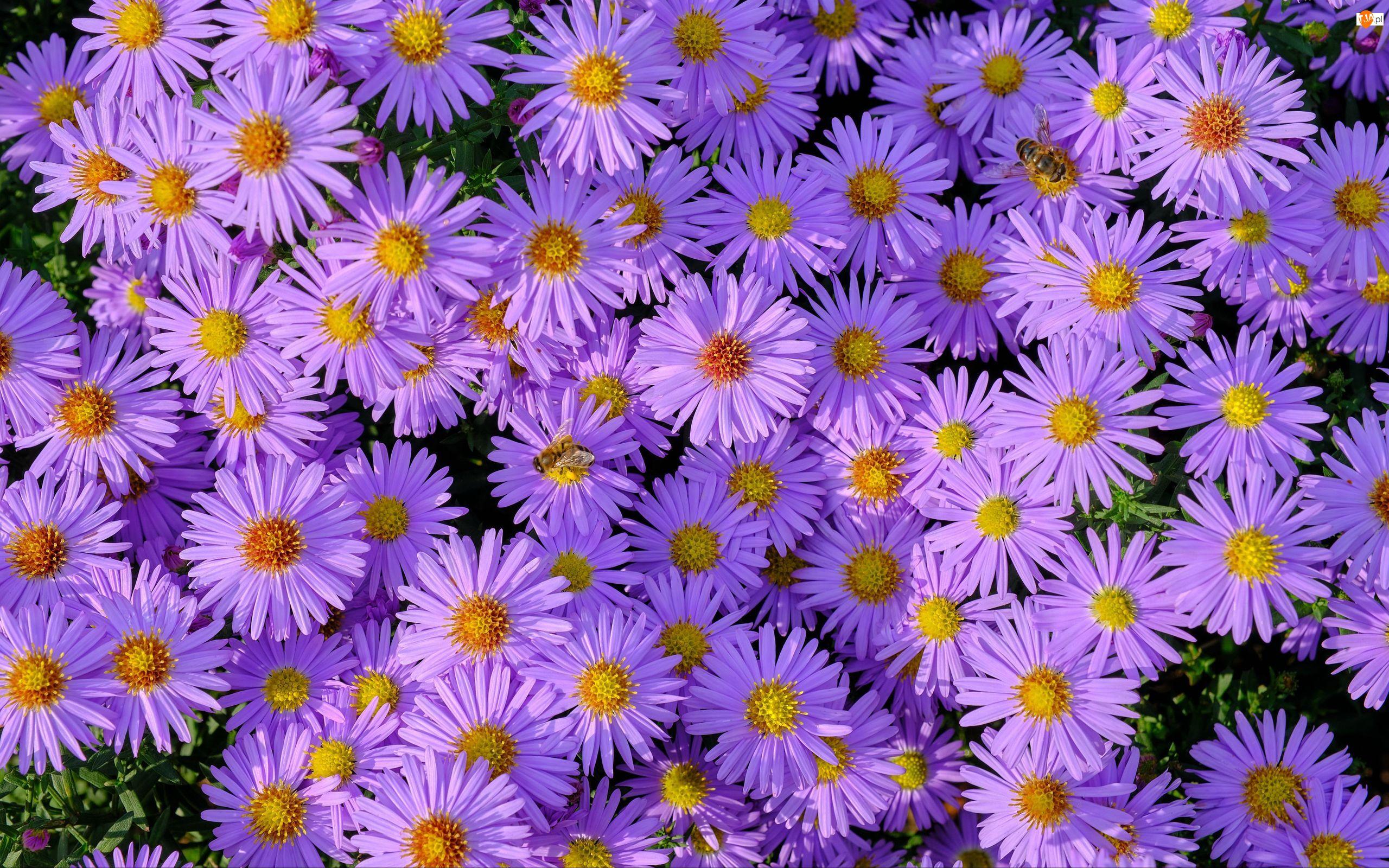 Astry, Kwiaty, Pszczoły, Fioletowe