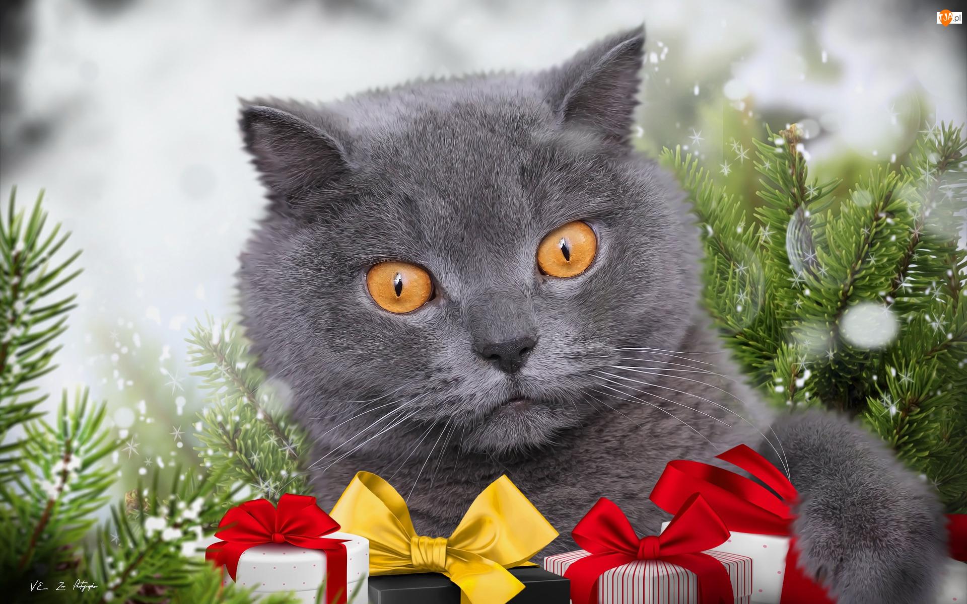Grafika, Kot brytyjski krótkowłosy, Prezenty