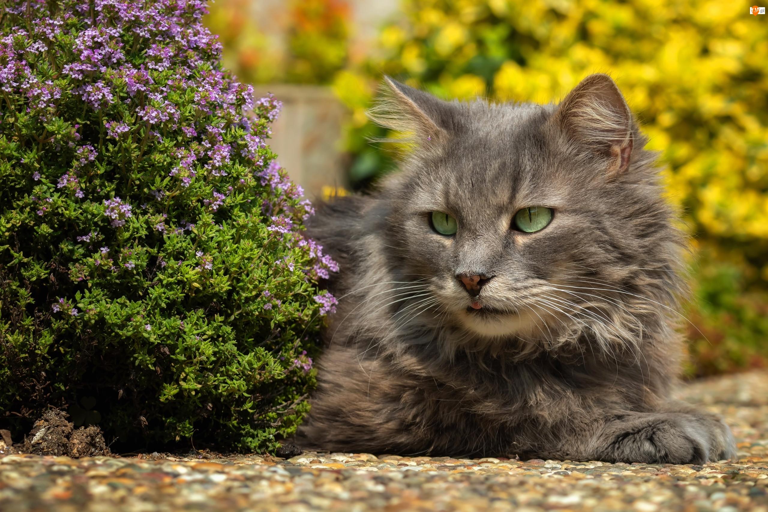 Kot, Szary, Oczy, Kwiaty, Zielone, Fioletowe
