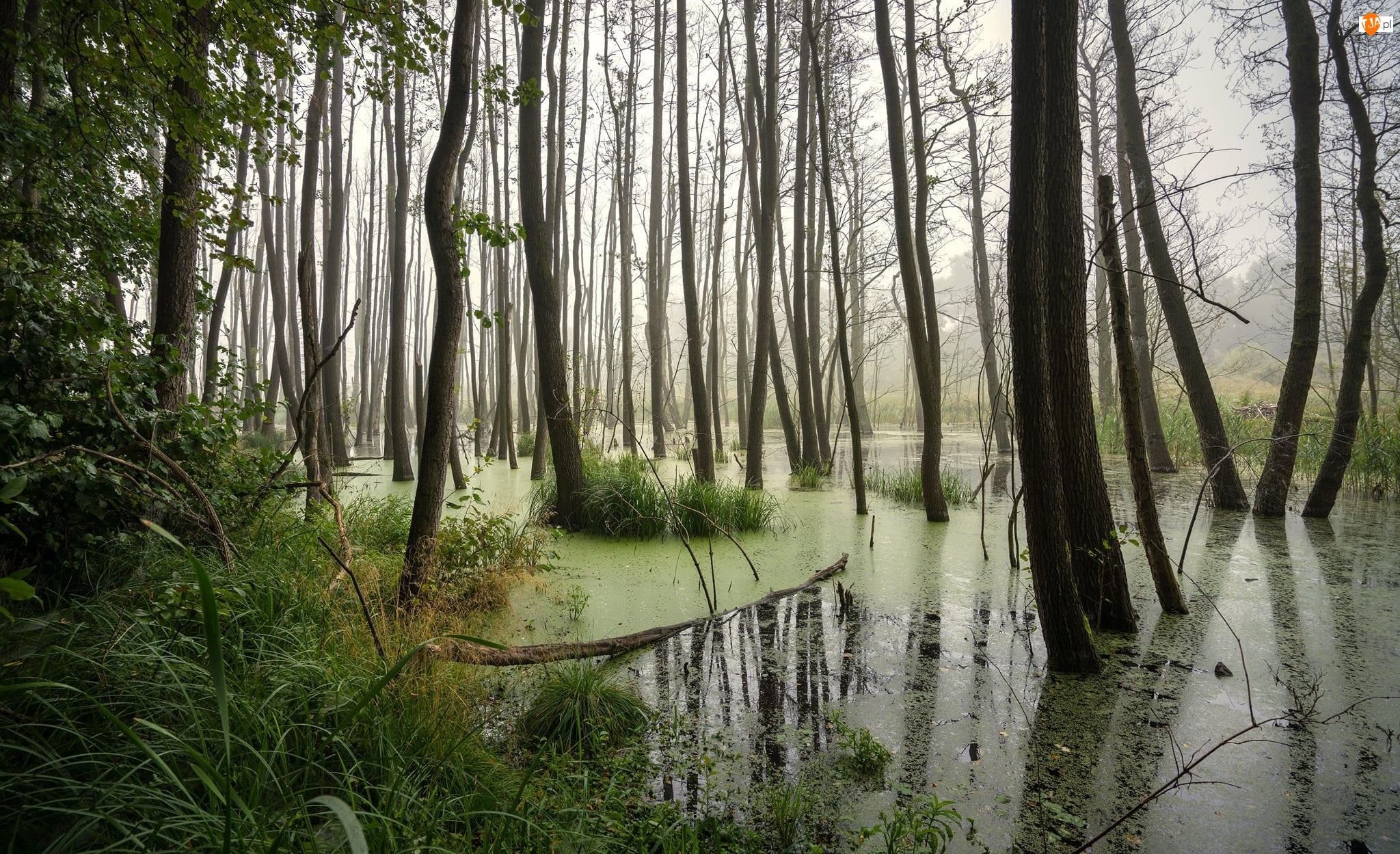 Trawa, Bagno, Drzewa
