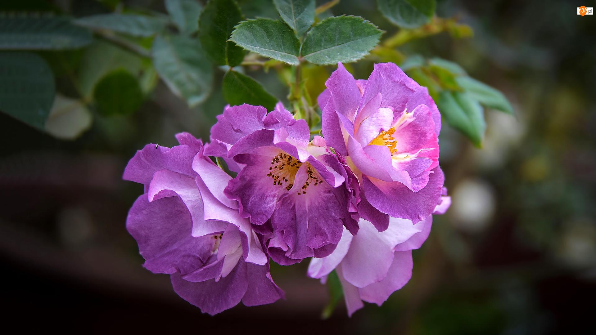 Rozmyte tło, Jasnofioletowe, Kwitnące, Róże