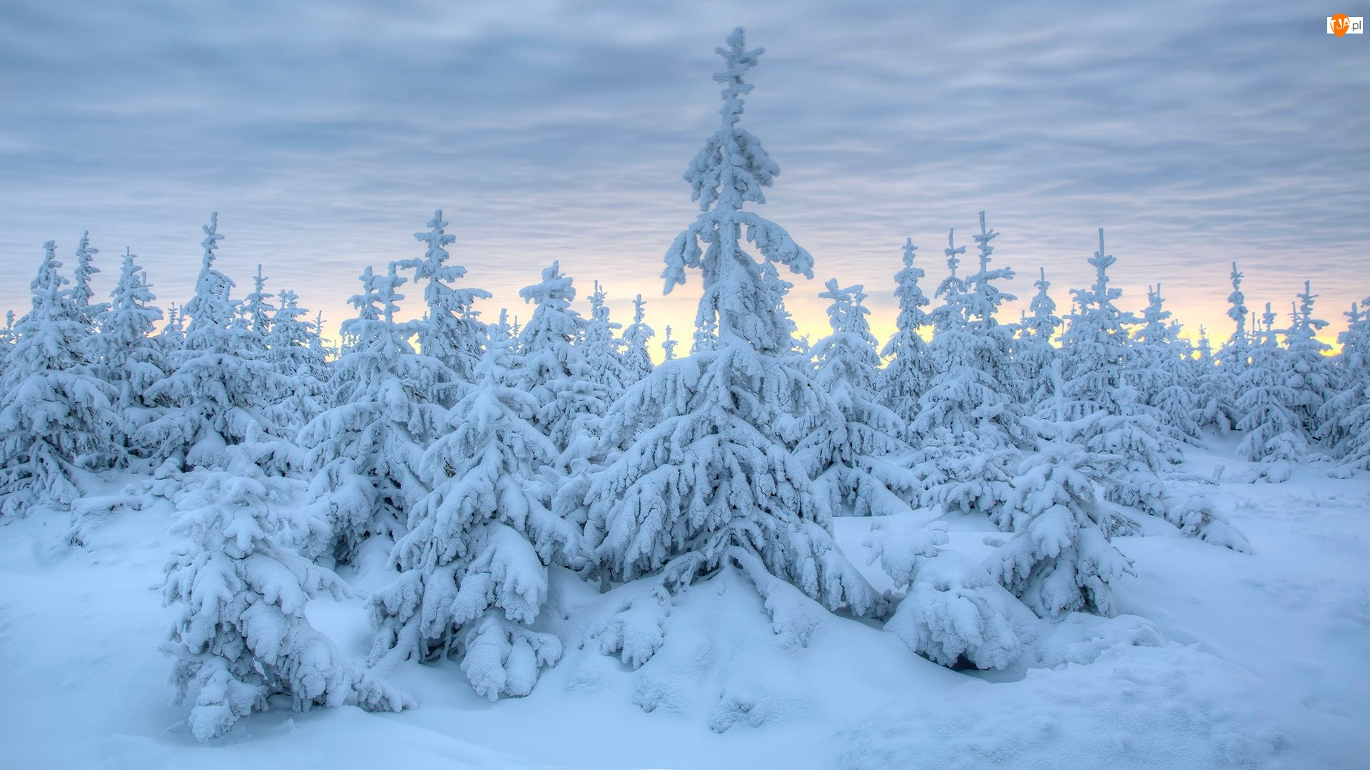 Śnieg, Zima, Ośnieżone, Chmury, Świerki, Drzewa