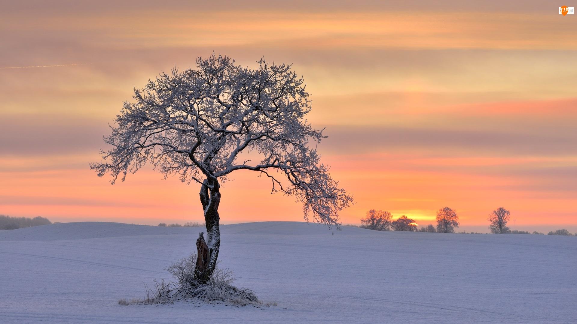 Ośnieżone, Wschód słońca, Drzewa, Zima, Drzewo