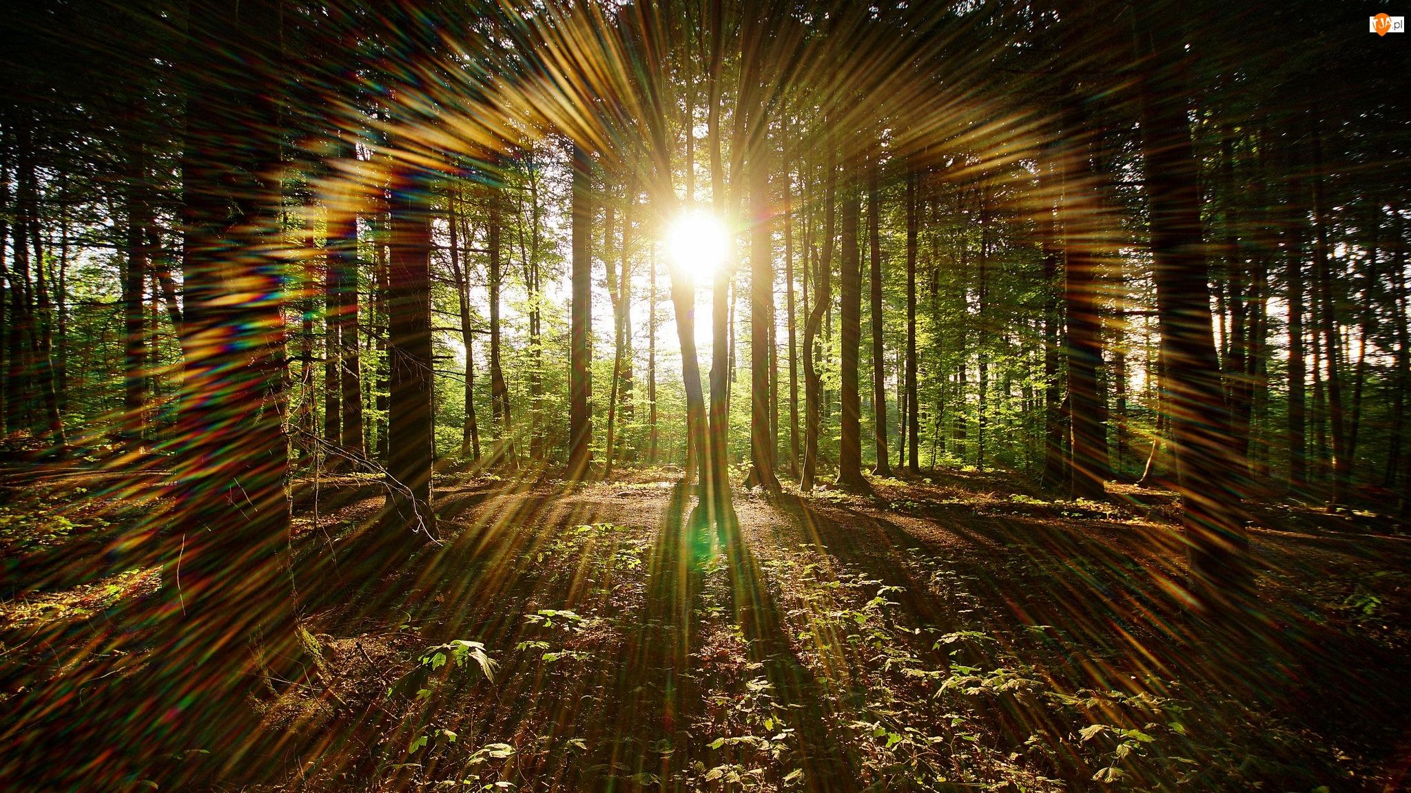 Przebijające światło, Las, Słońce, Drzewa