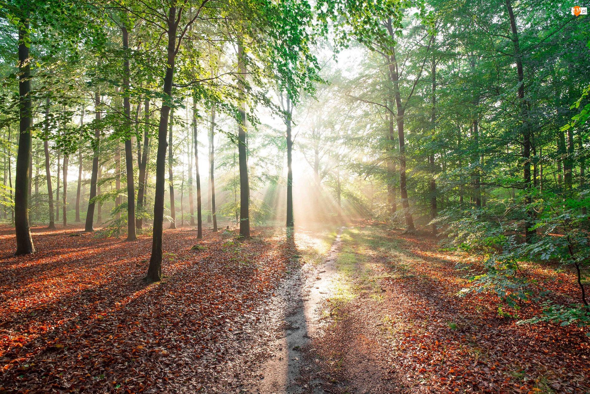 Drzewa, Przebijające Światło, Zielone, Las, Ścieżka