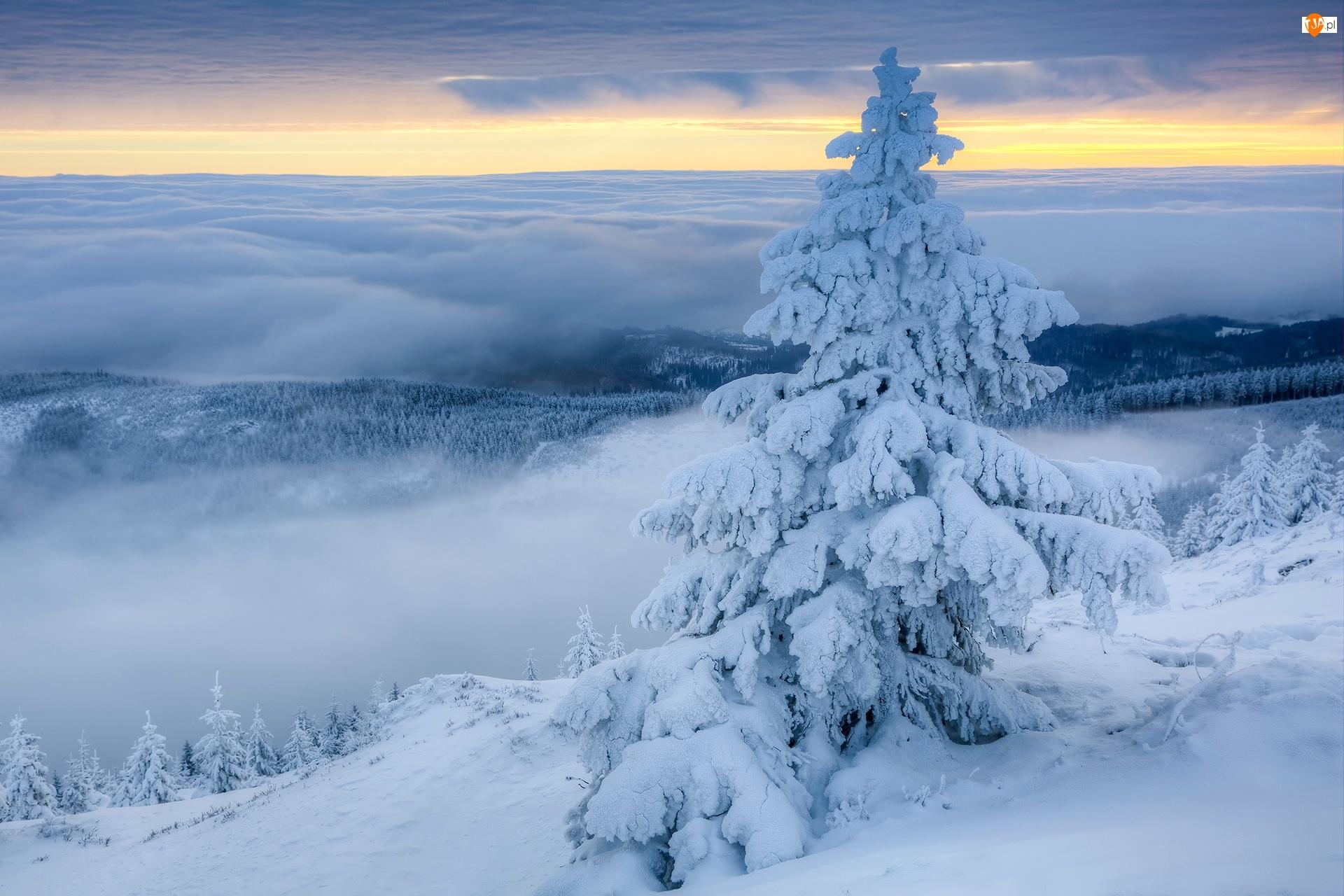Świerk, Śnieg, Ośnieżony, Zima, Mgła