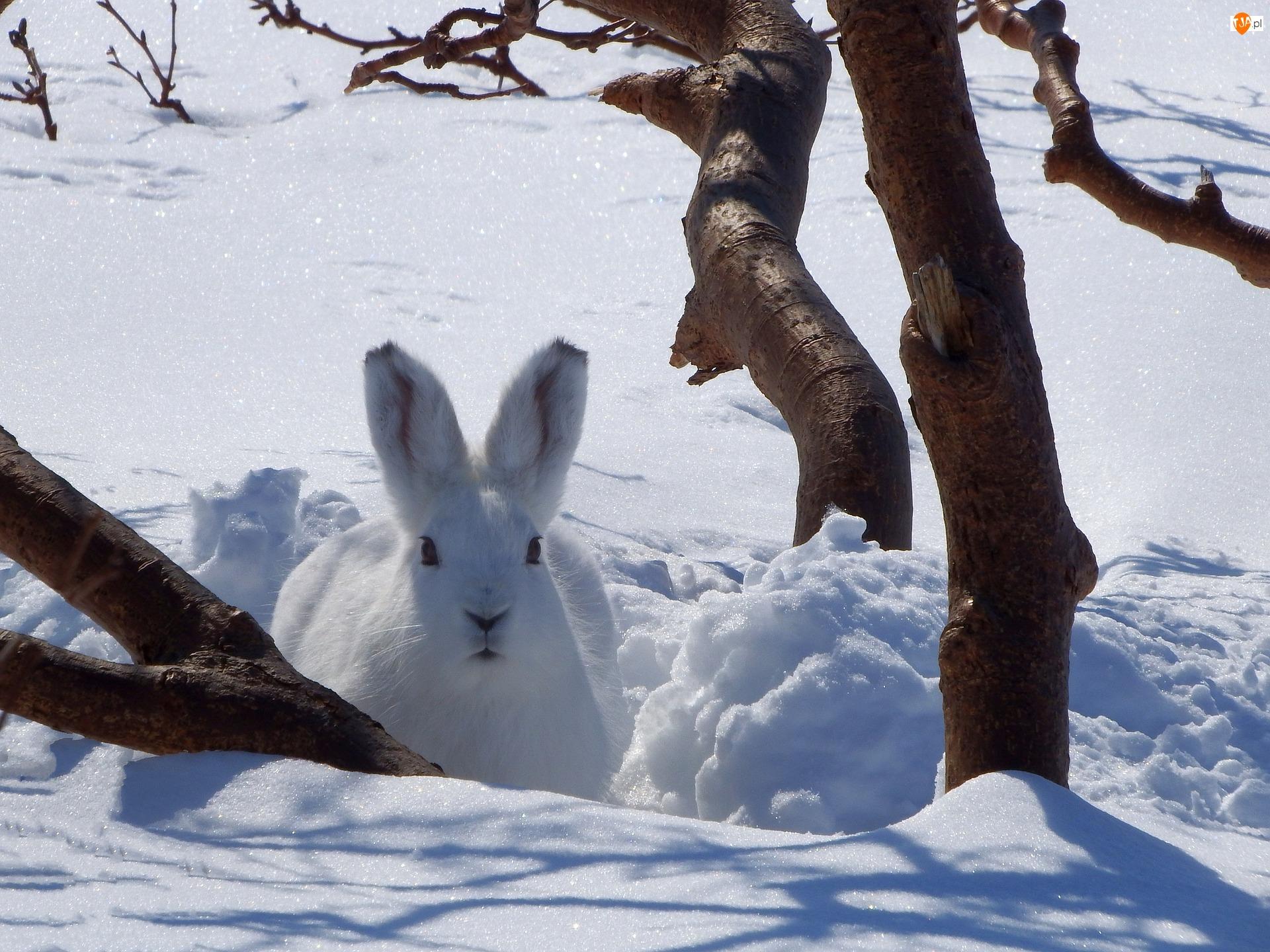 Śnieg, Zima, Zając, Biały, Drzewo