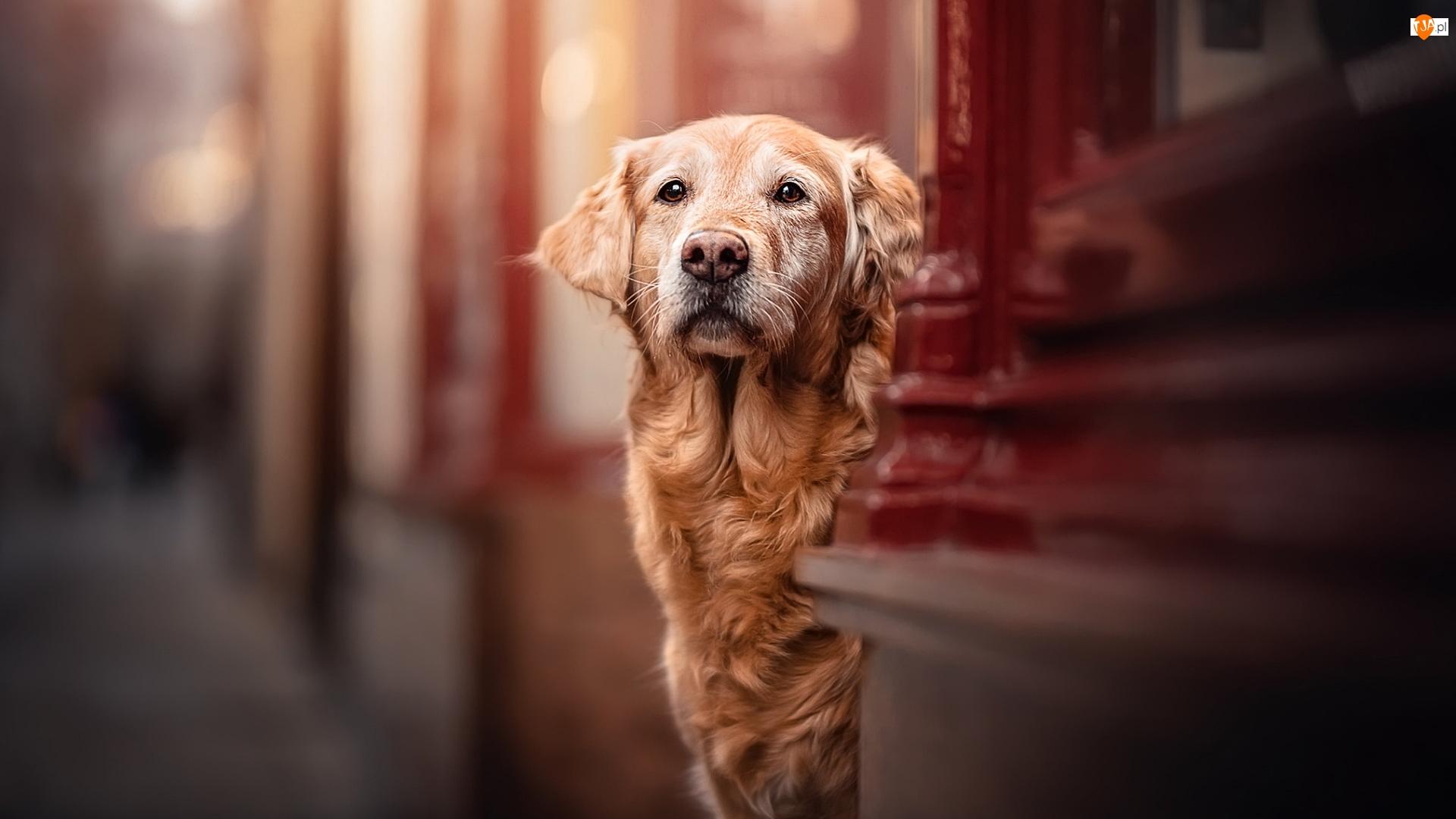 Ściana, Pies, Golden retriever