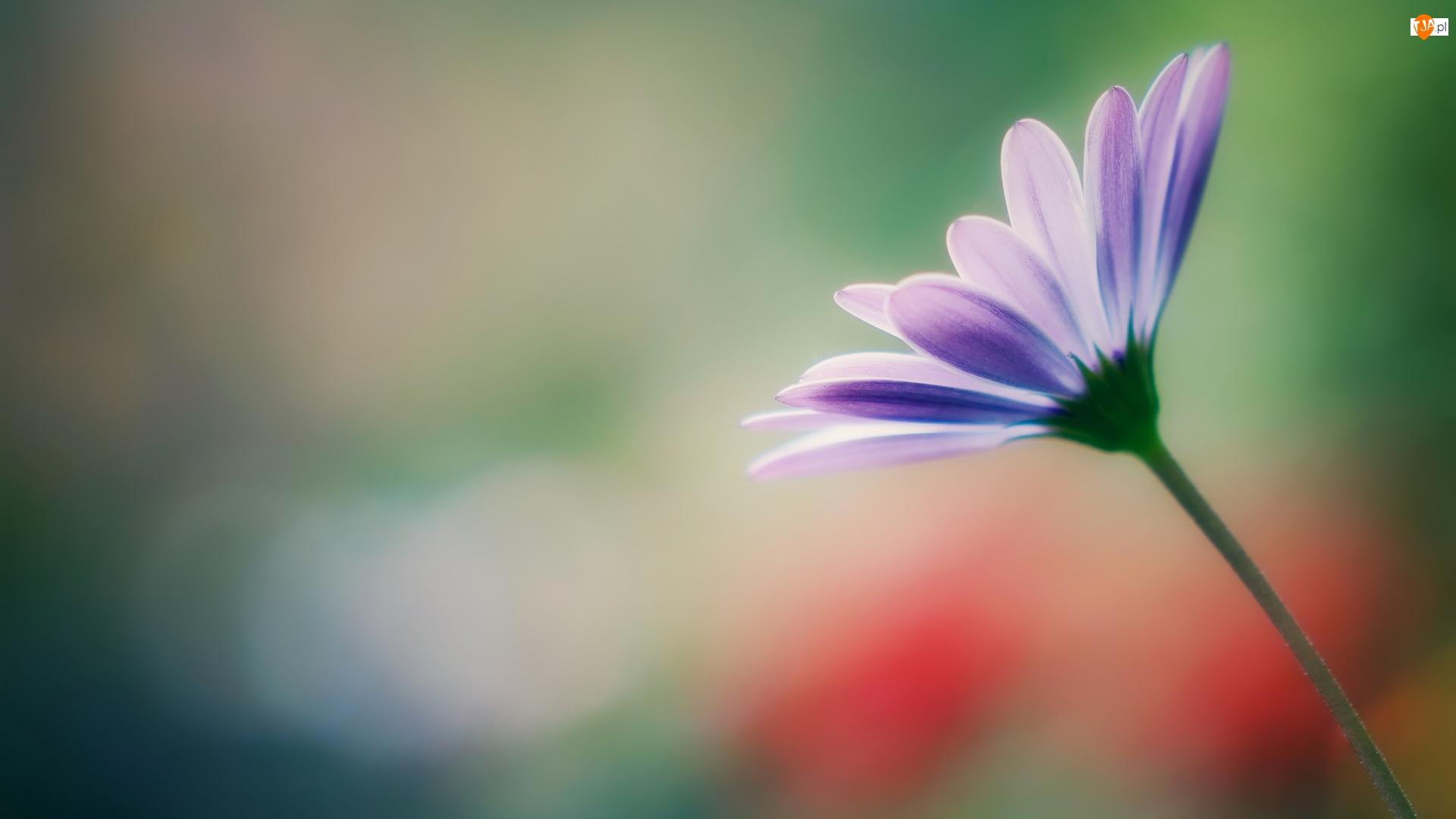 Stokrotka afrykańska, Kwiat, Jasnofioletowa
