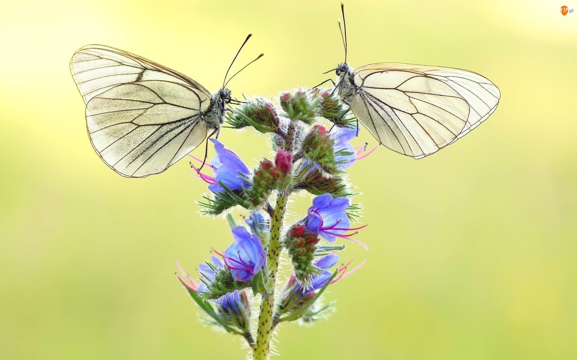 Zbliżenie, Motyle, Niestrzępy głogowce, Roślina