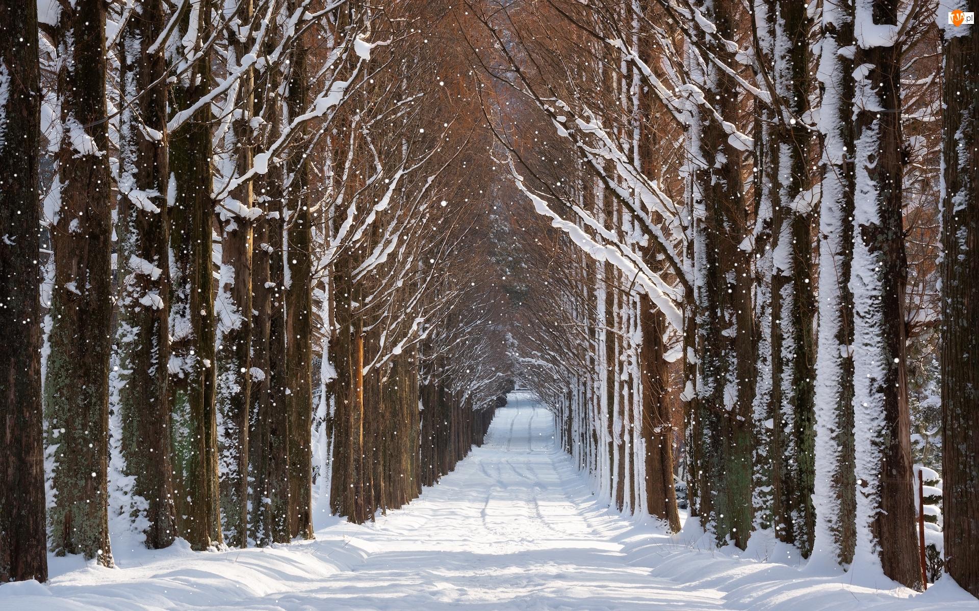 Drzewa, Droga, Aleja, Zima, Ośnieżona