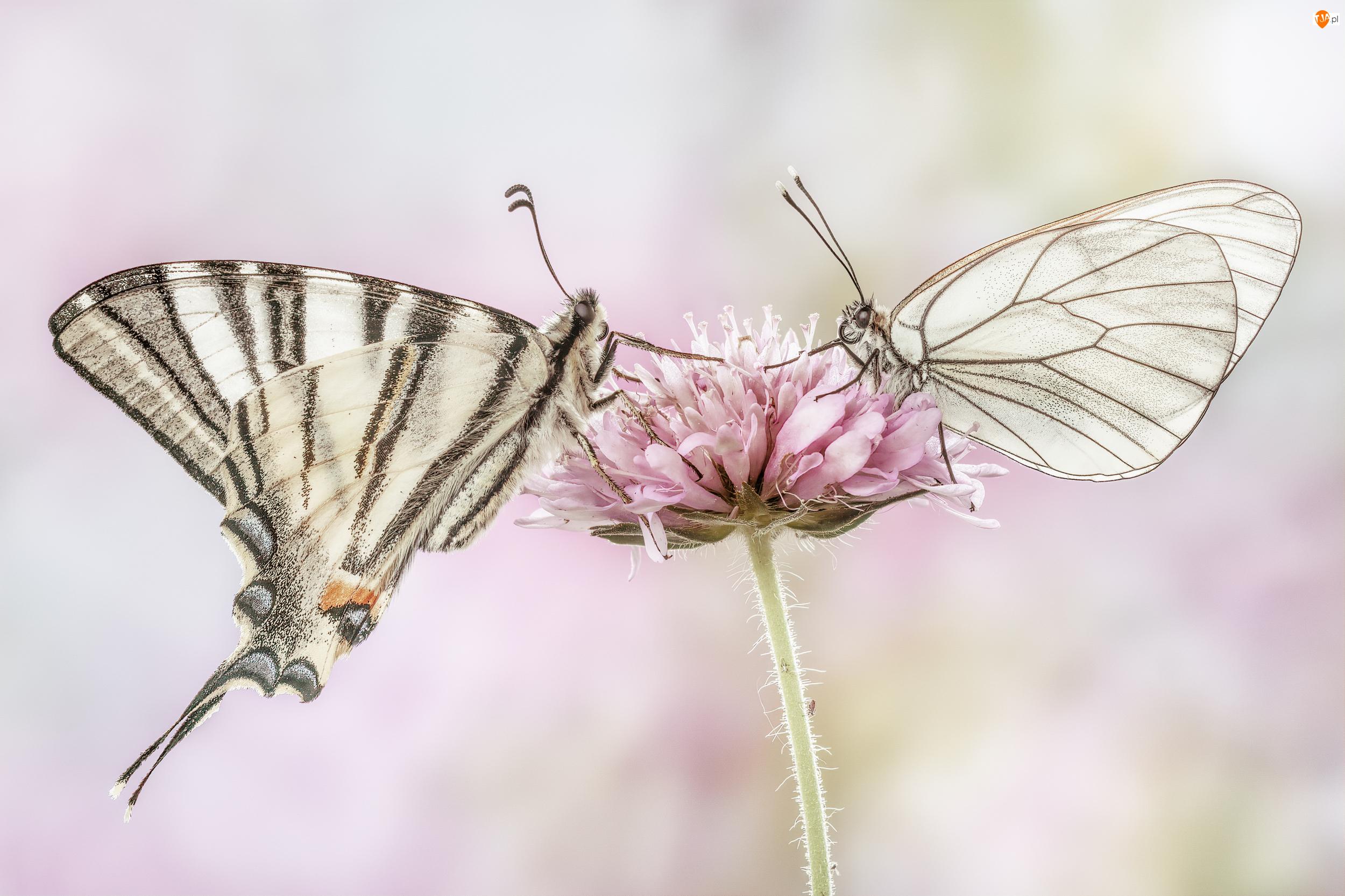 Paź żeglarz, Kwiat, Motyle, Dwa, Niestrzęp głogowiec