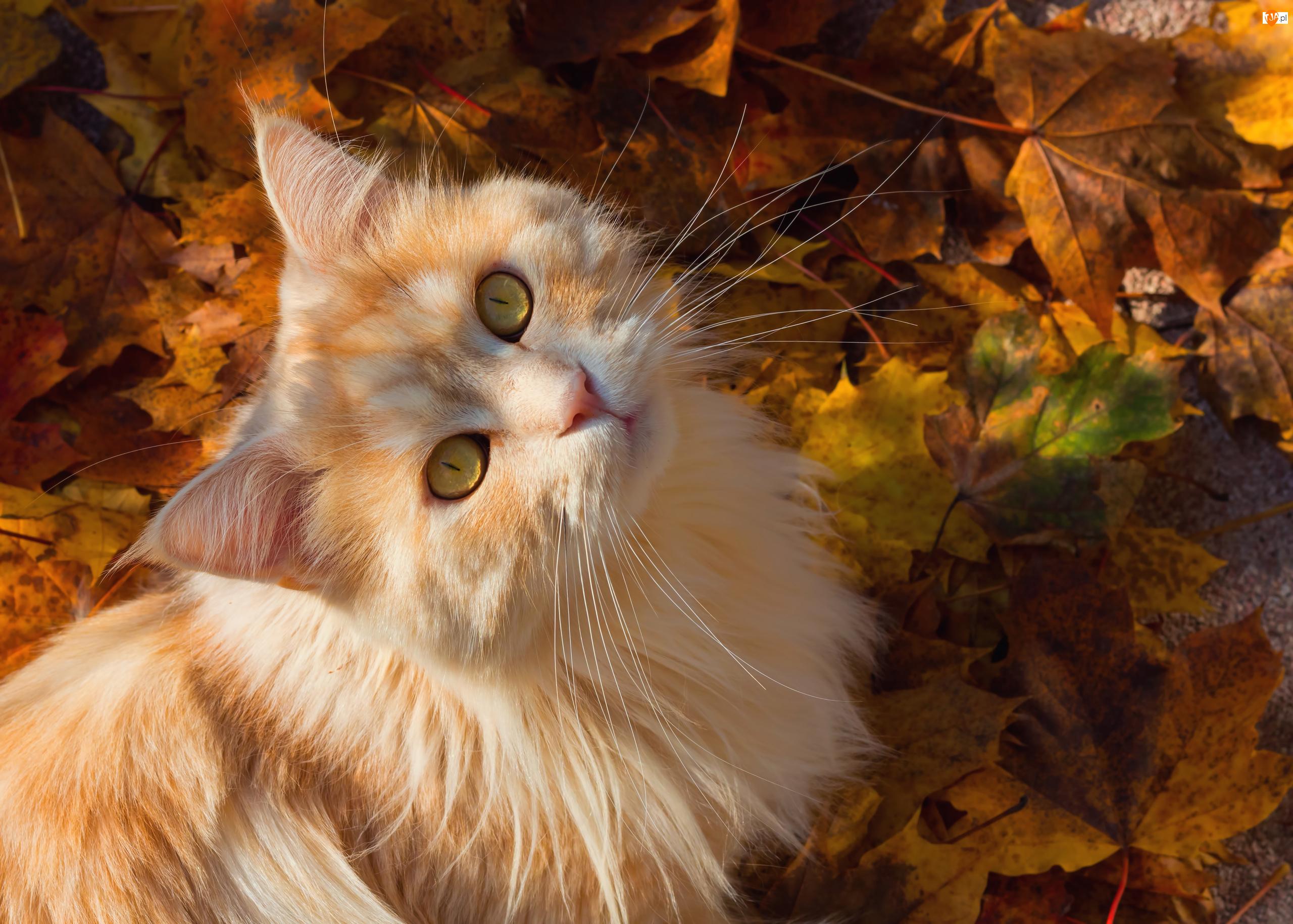 Kot, Jasnorudy, Oczy, Liście, Miodowe, Jesienne