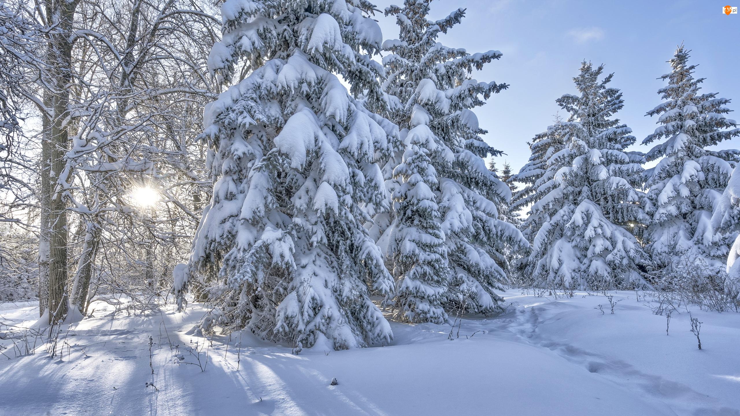 Ośnieżone, Las, Zima, Słońca, Drzewa, Światło