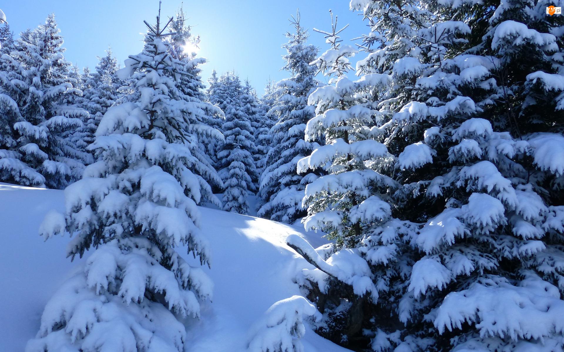Śnieg, Zima, Świerki, Słoneczne, Drzewa, Światło
