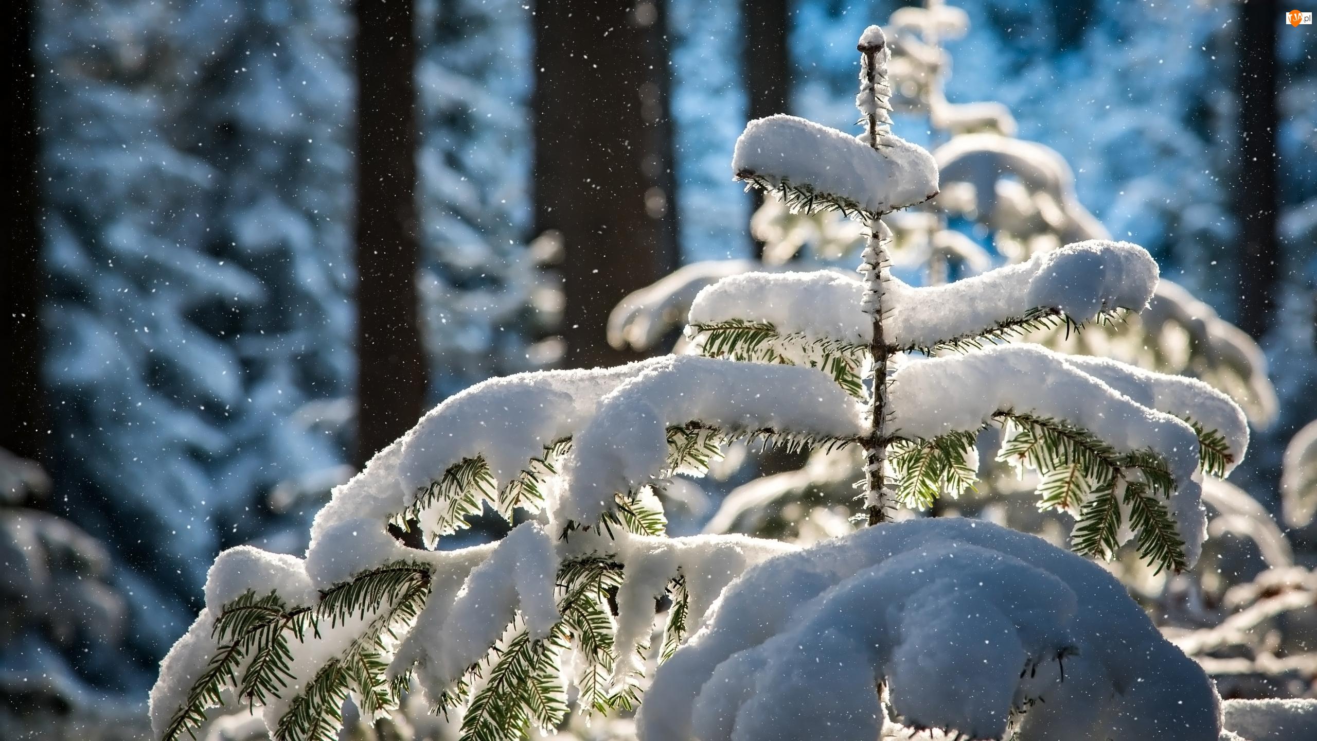 Drzewa, Jodła, Śnieg, Zima, Ośnieżona