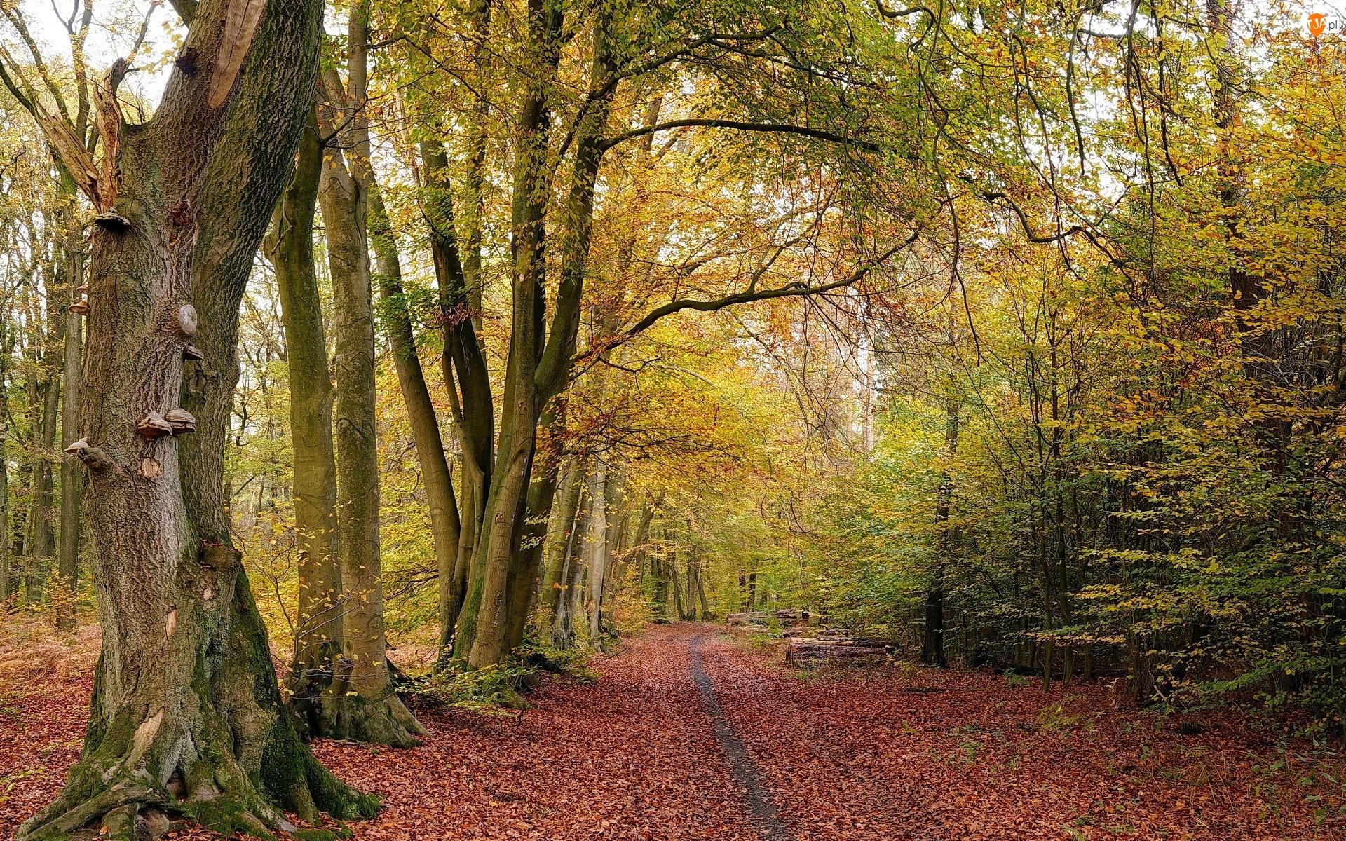 Ścieżka, Drzewa, Las, Jesień, Liście