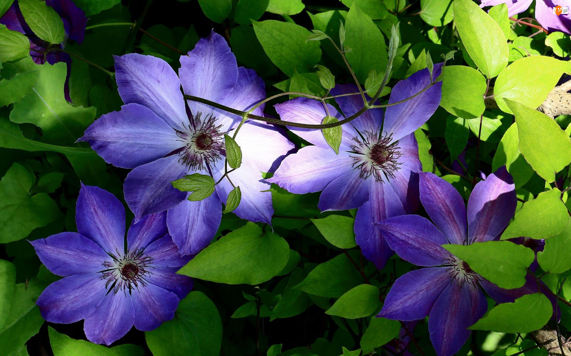 Liście, Kwiaty, Fioletowe, Powojniki