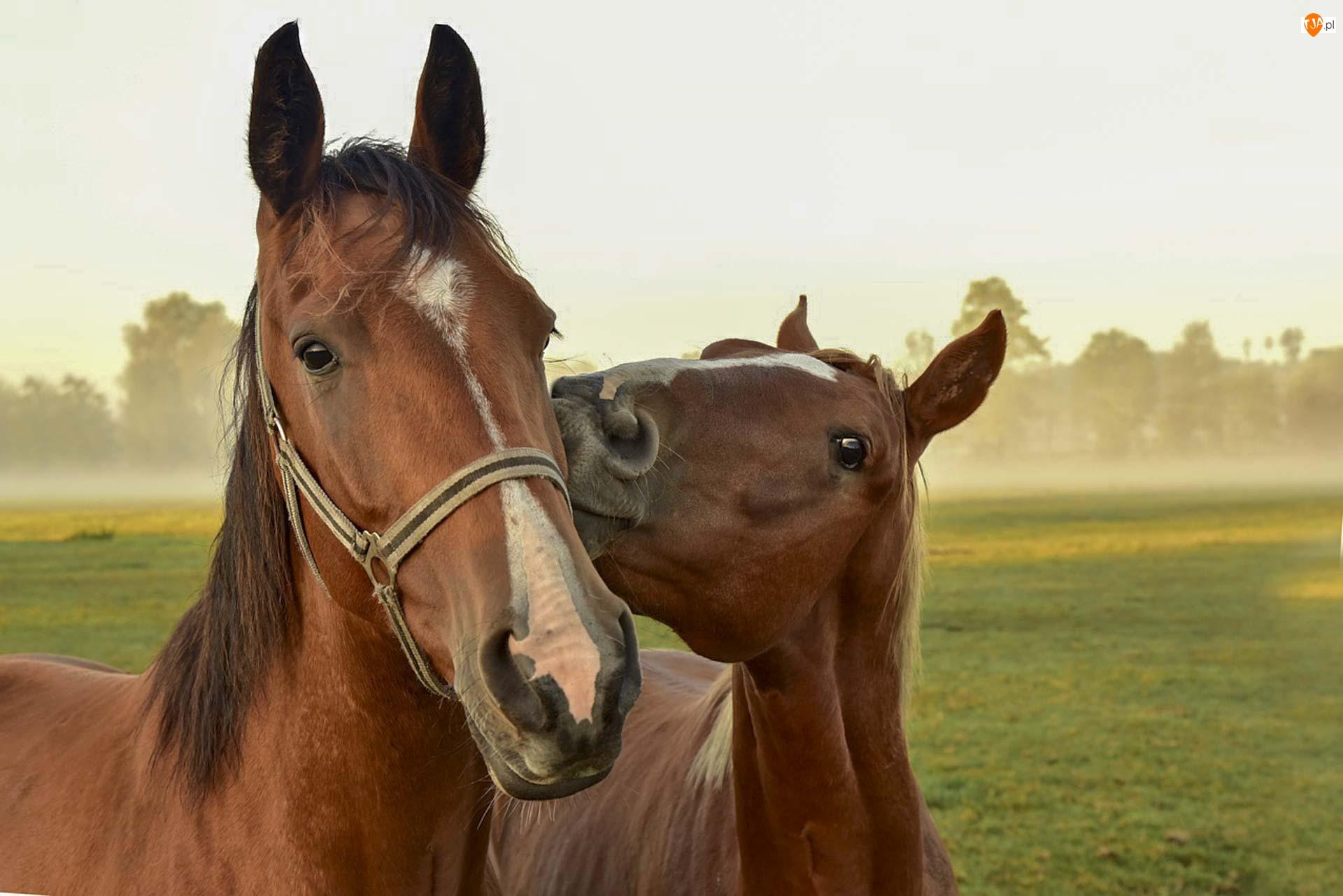 Konie, Dwa, Kasztanowe