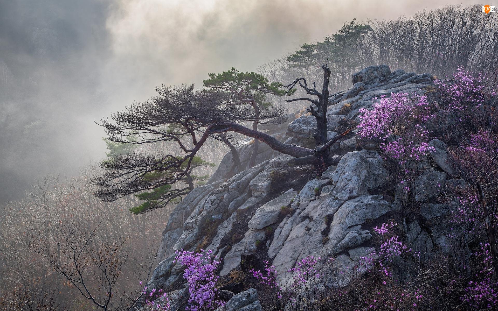 Sosna, Kwiaty, Mgła, Skały, Krzewy