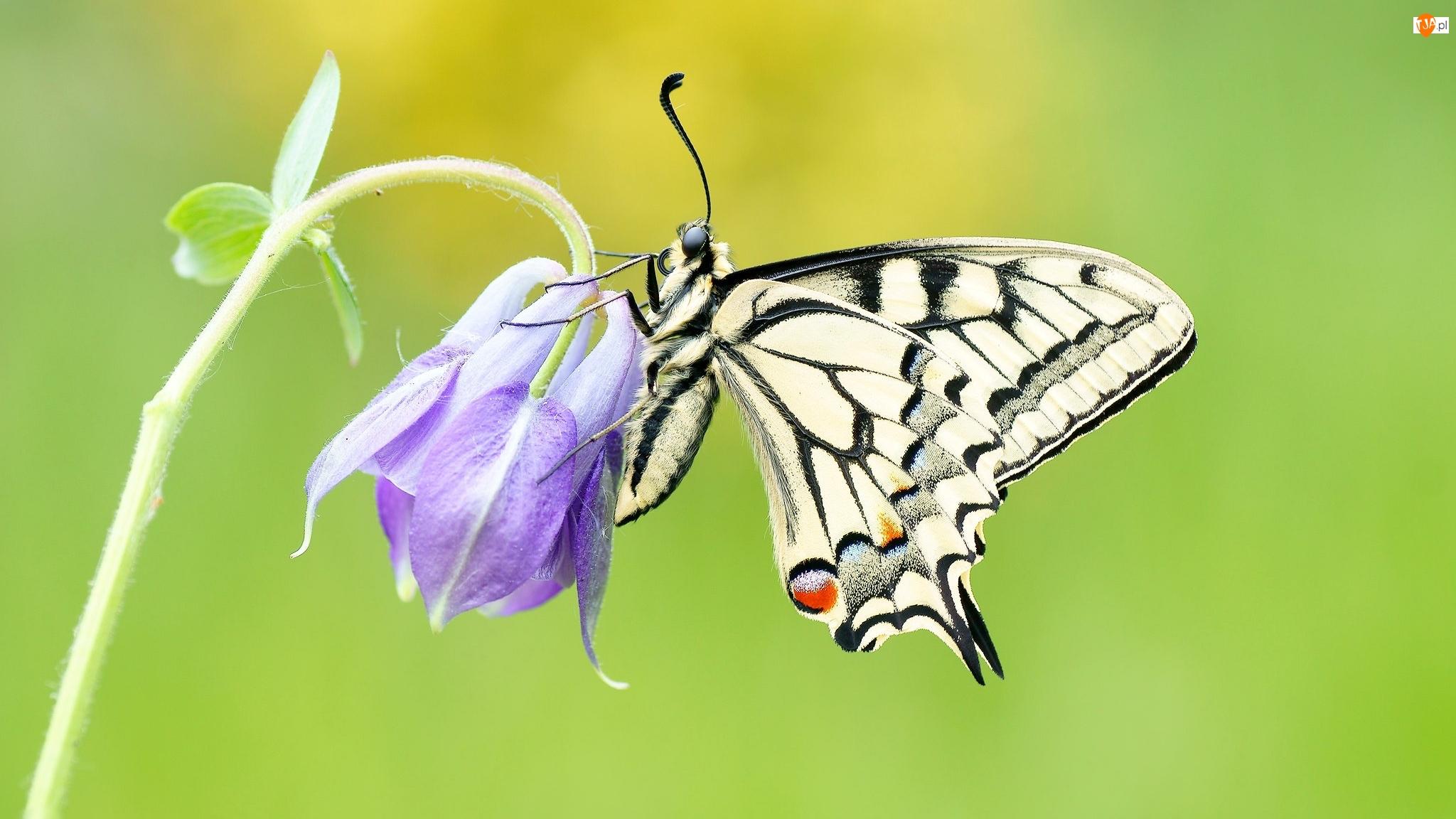 Fioletowy, Zbliżenie, Paź królowej, Motyl, Kwiat