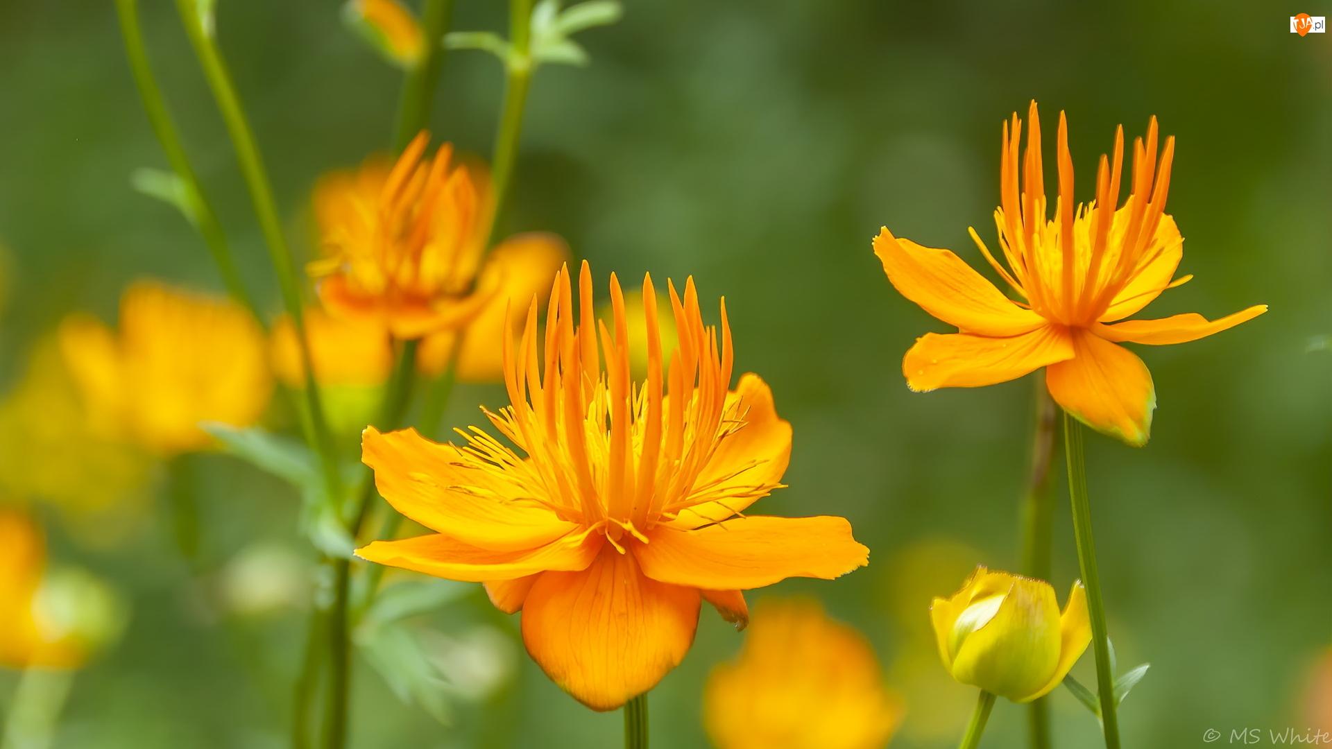 Pełnik chiński, Żółte, Kwiaty