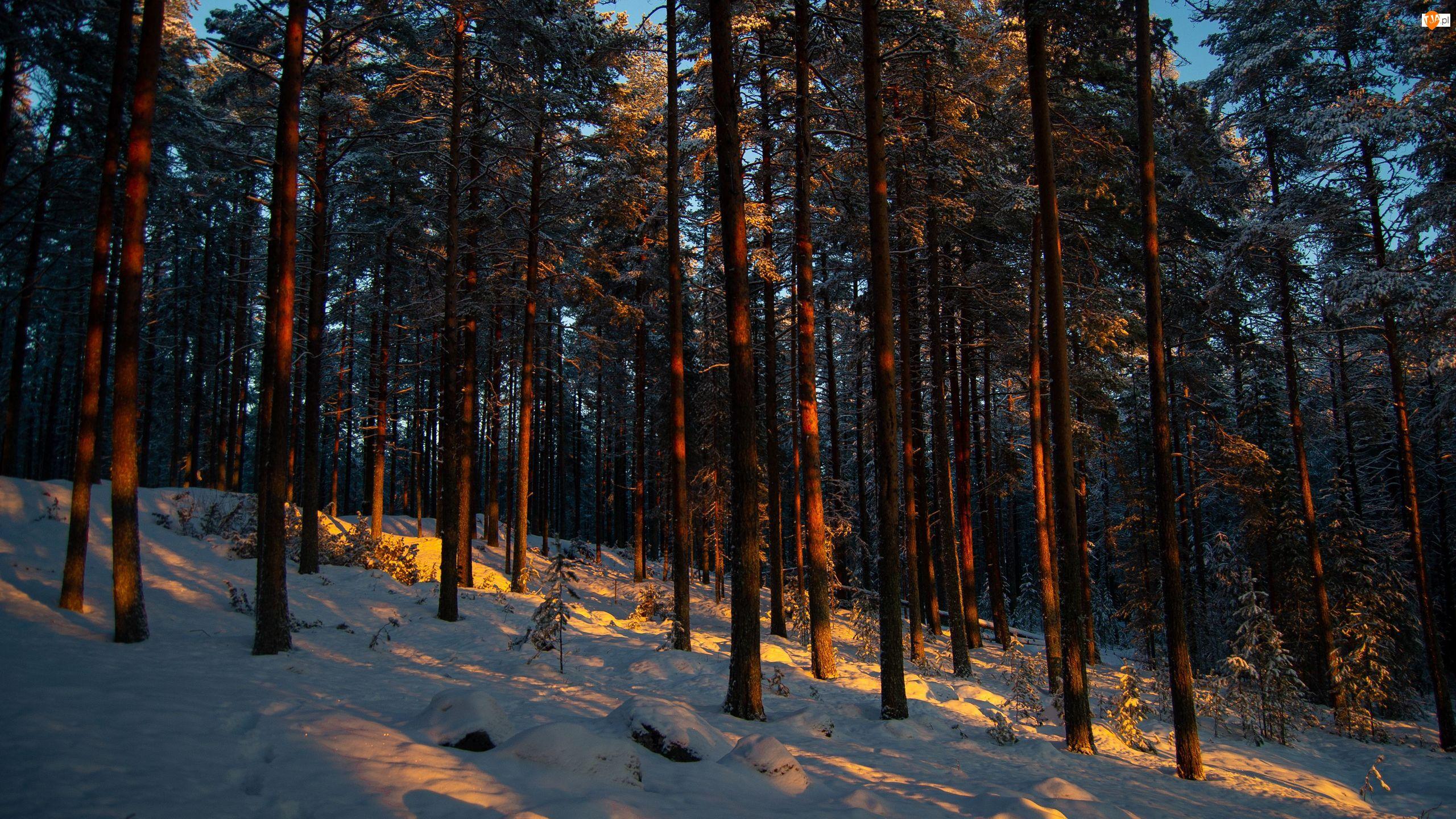 Słońce, Las, Drzewa, Sosny
