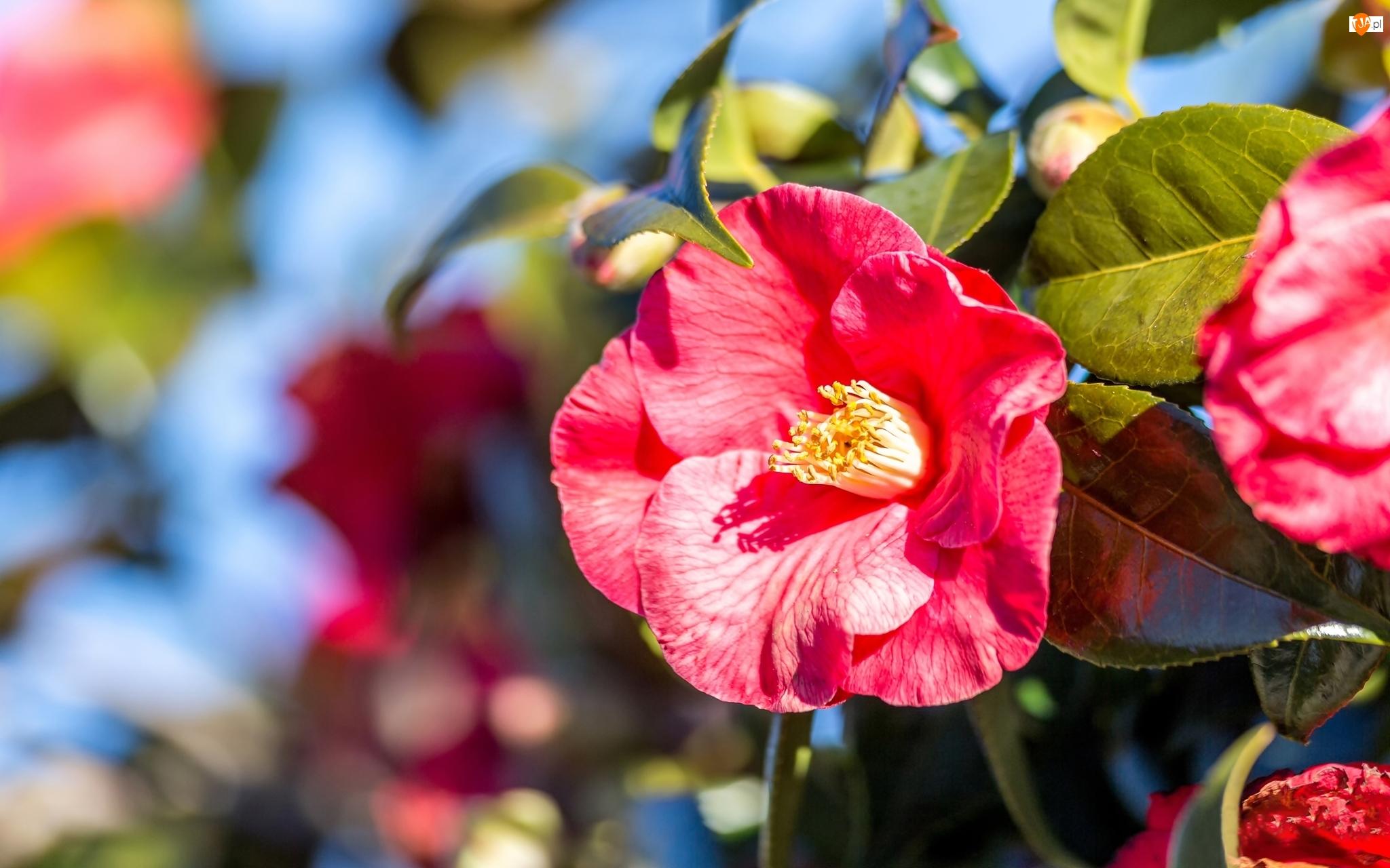 Liście, Kwiaty, Kamelia
