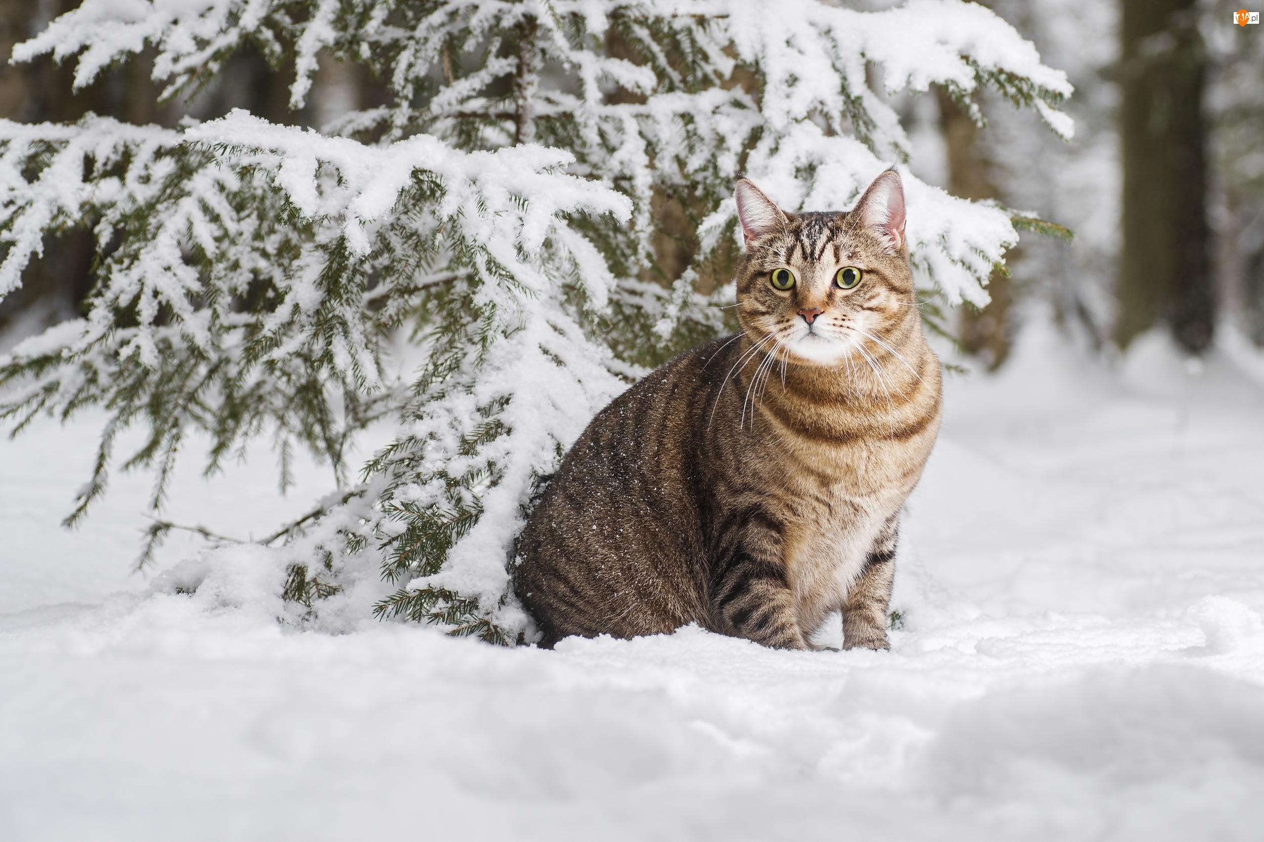 Zima, Kot, Ośnieżone, Drzewo