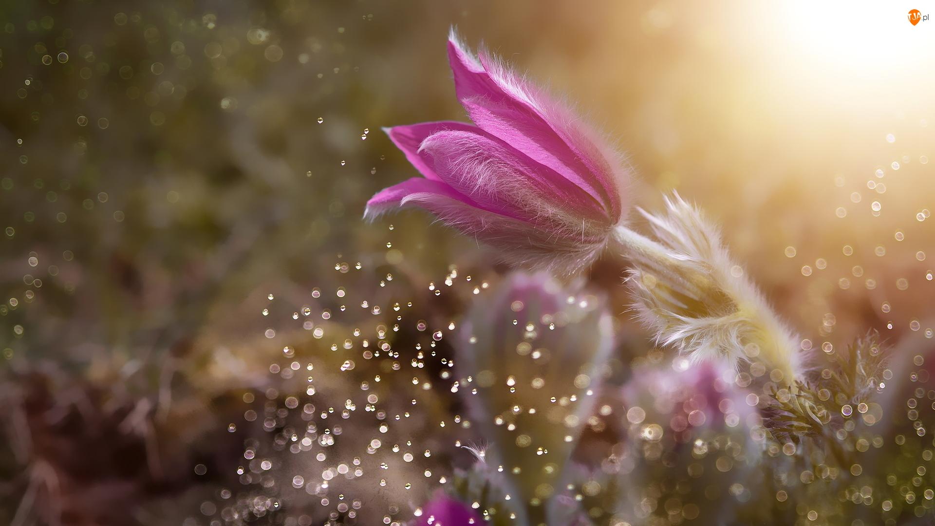 Sasanka, Kwiat, Różowa