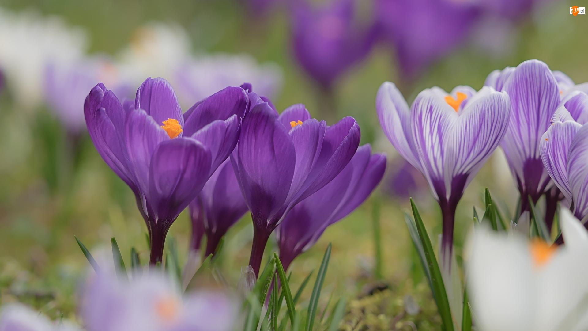 Krokusy, Kwiaty, Ciemnofioletowe, Jasnofioletowe