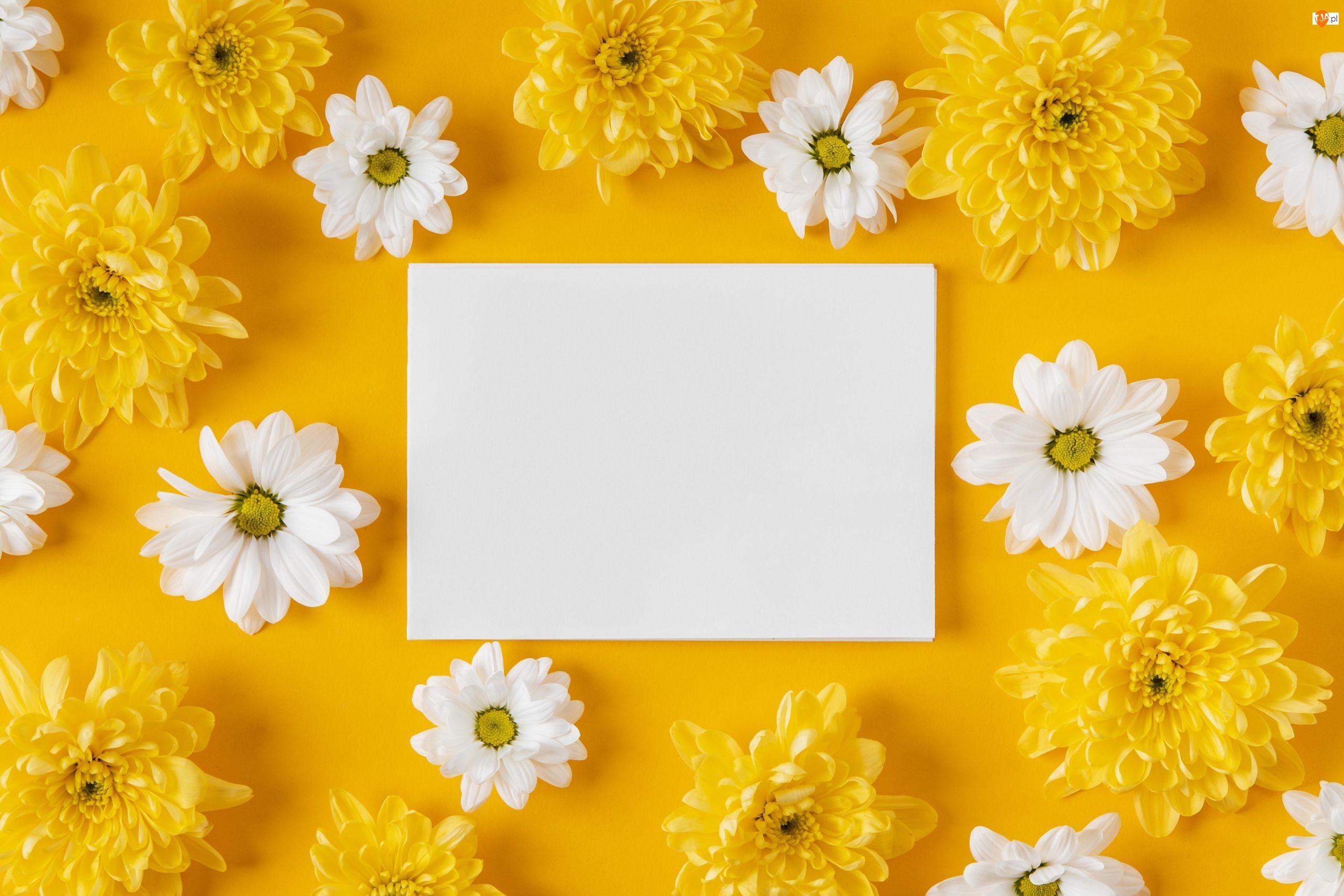 Kartka, Białe, Chryzantemy, Żółte, Żółte, Biała, Tło, Kwiaty