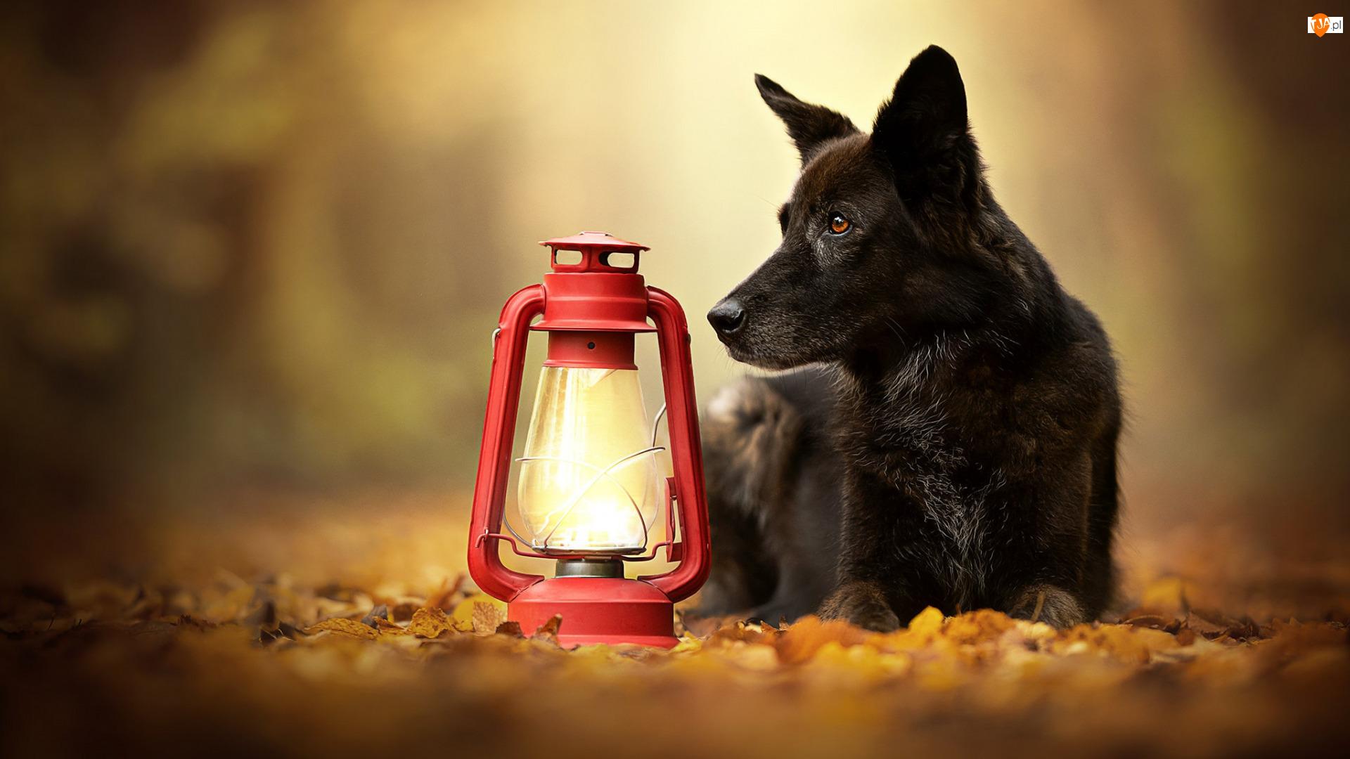 Lampa, Czarny, Pies, Czerwona
