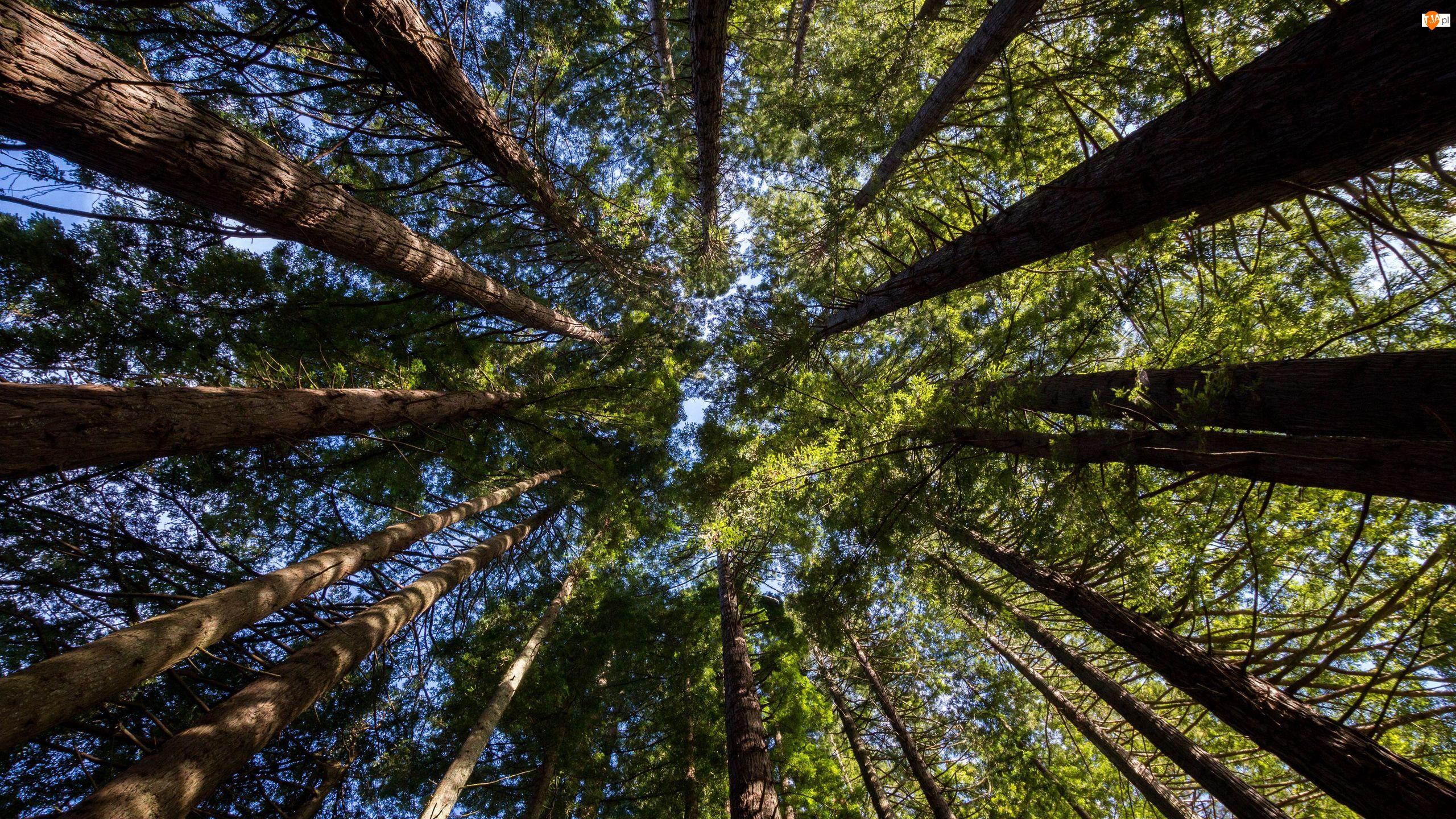 Wierzchołki, Zielone, Drzewa