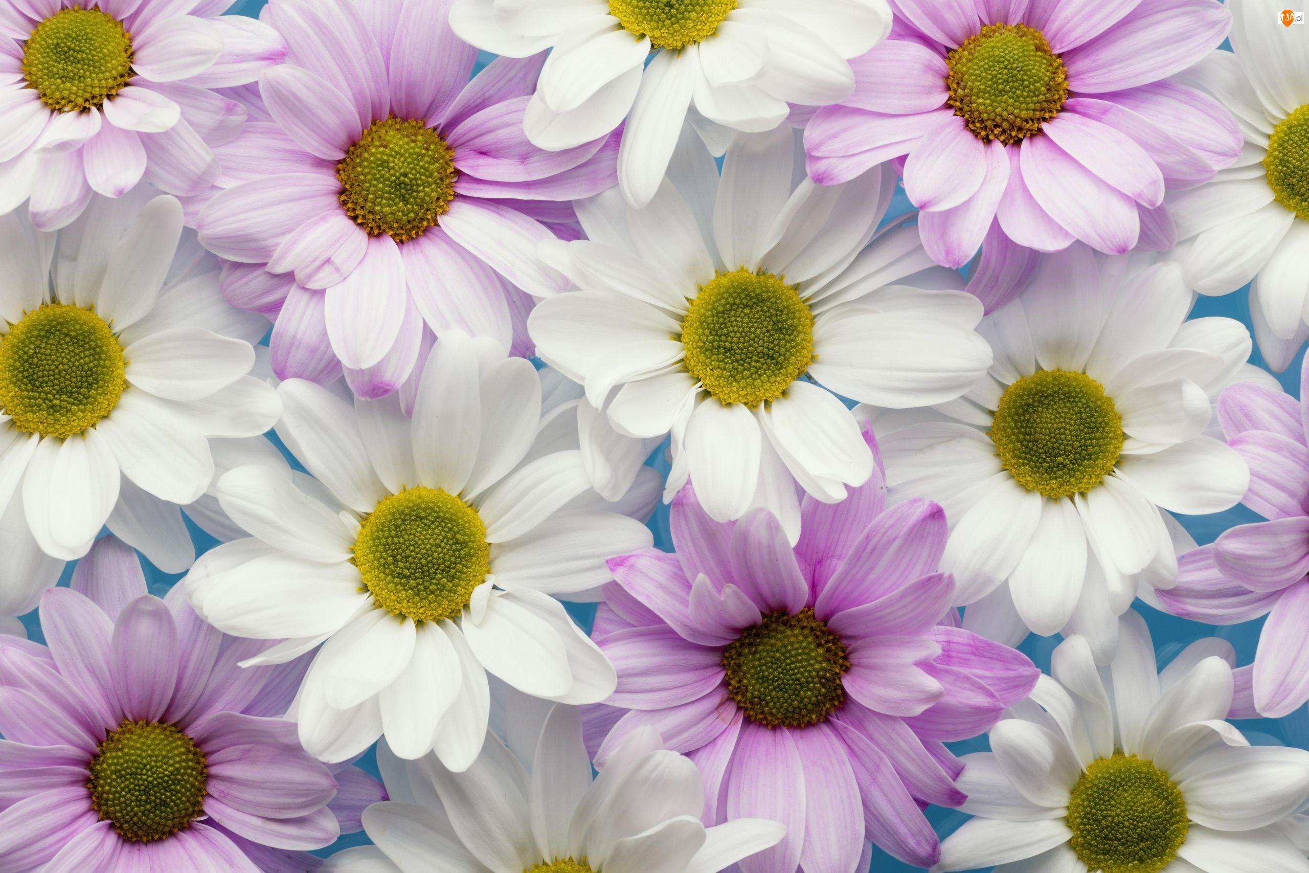 Chryzantemy, Kwiaty, Białe, Liliowe