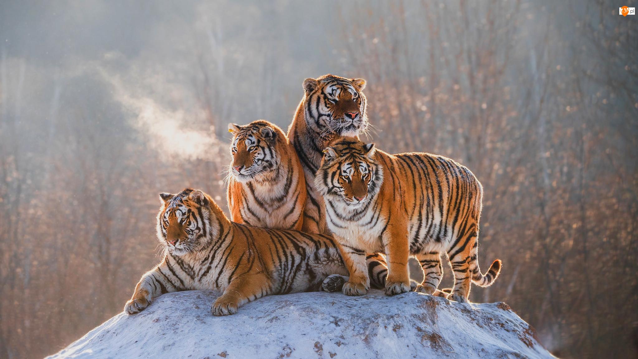 Skała, Cztery, Tygrysy, Ośnieżona