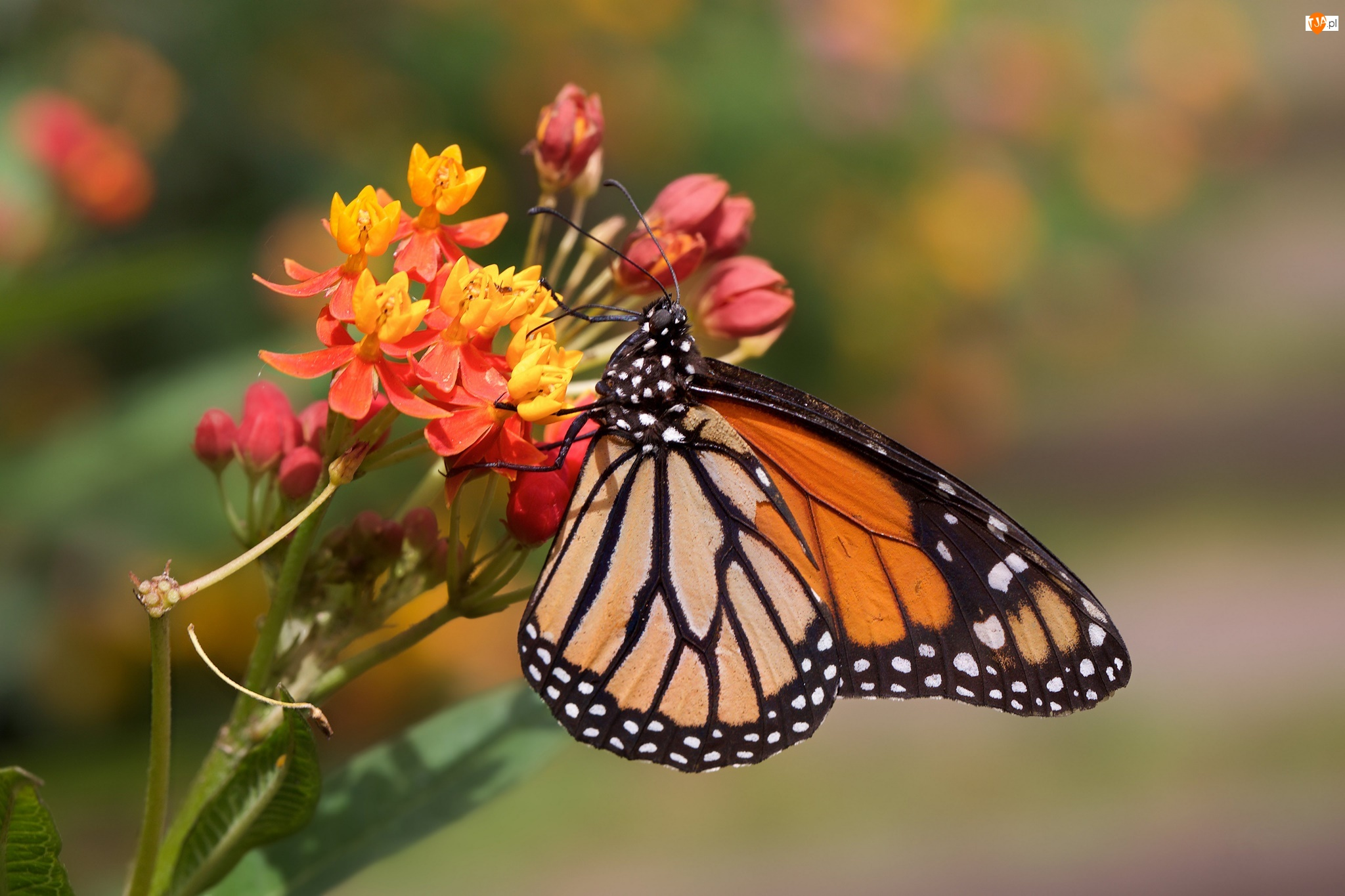 Zbliżenie, Motyl, Danaid wędrowny, Kwiat