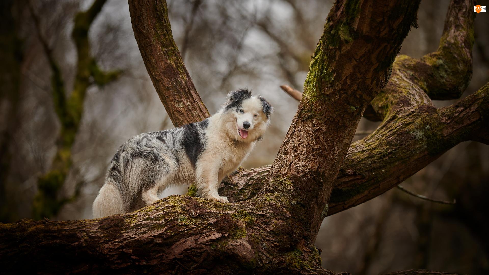 Konary, Pies, Owczarek australijski, Drzewo