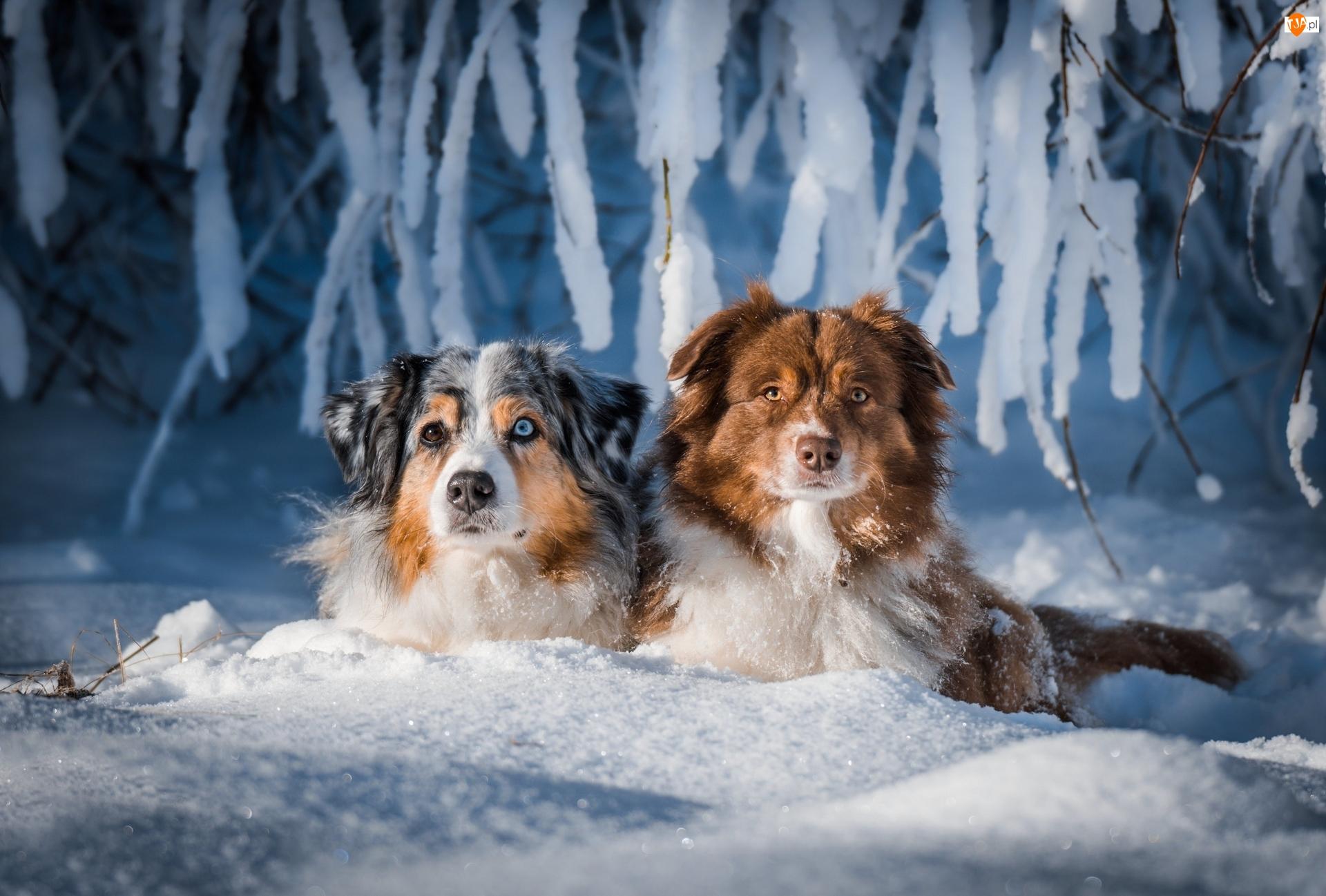 Psy, Dwa, Zima, Gałęzie, Owczarki australijskie, Śnieg