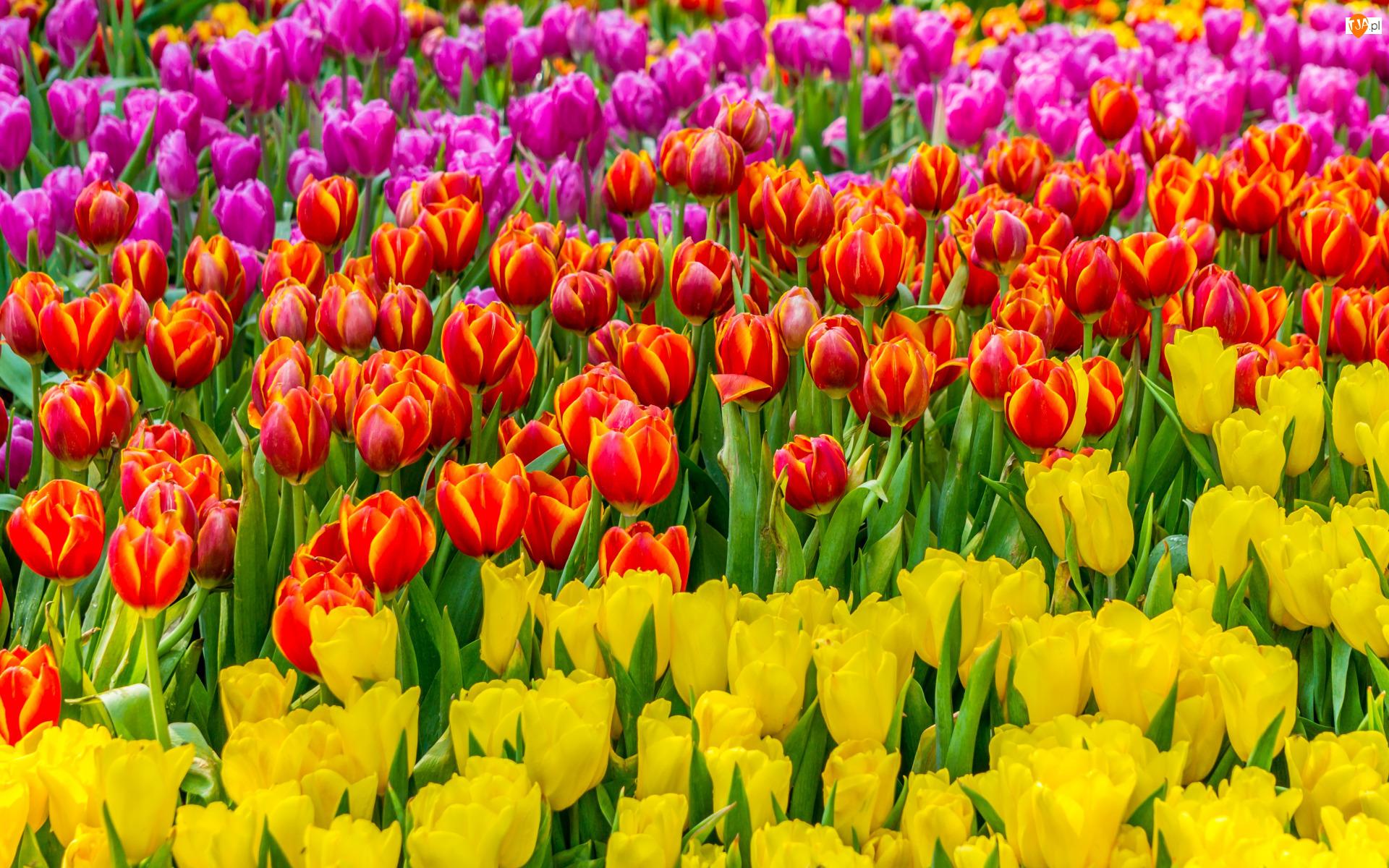 Kwiaty, Pole, Żółte, Różowe, Tulipany, Czerwone