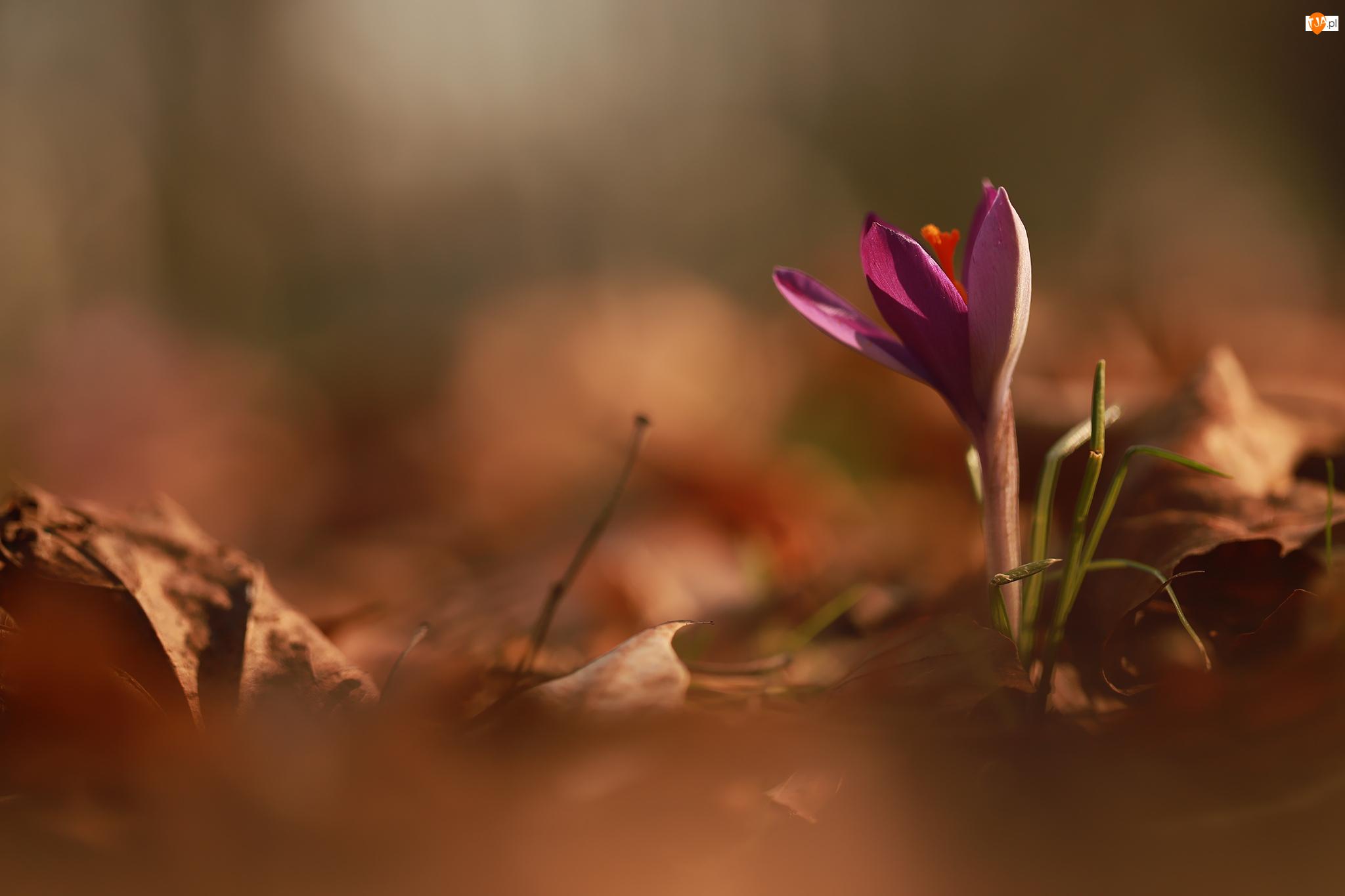 Kwiat, Ciemnofioletowy, Krokus